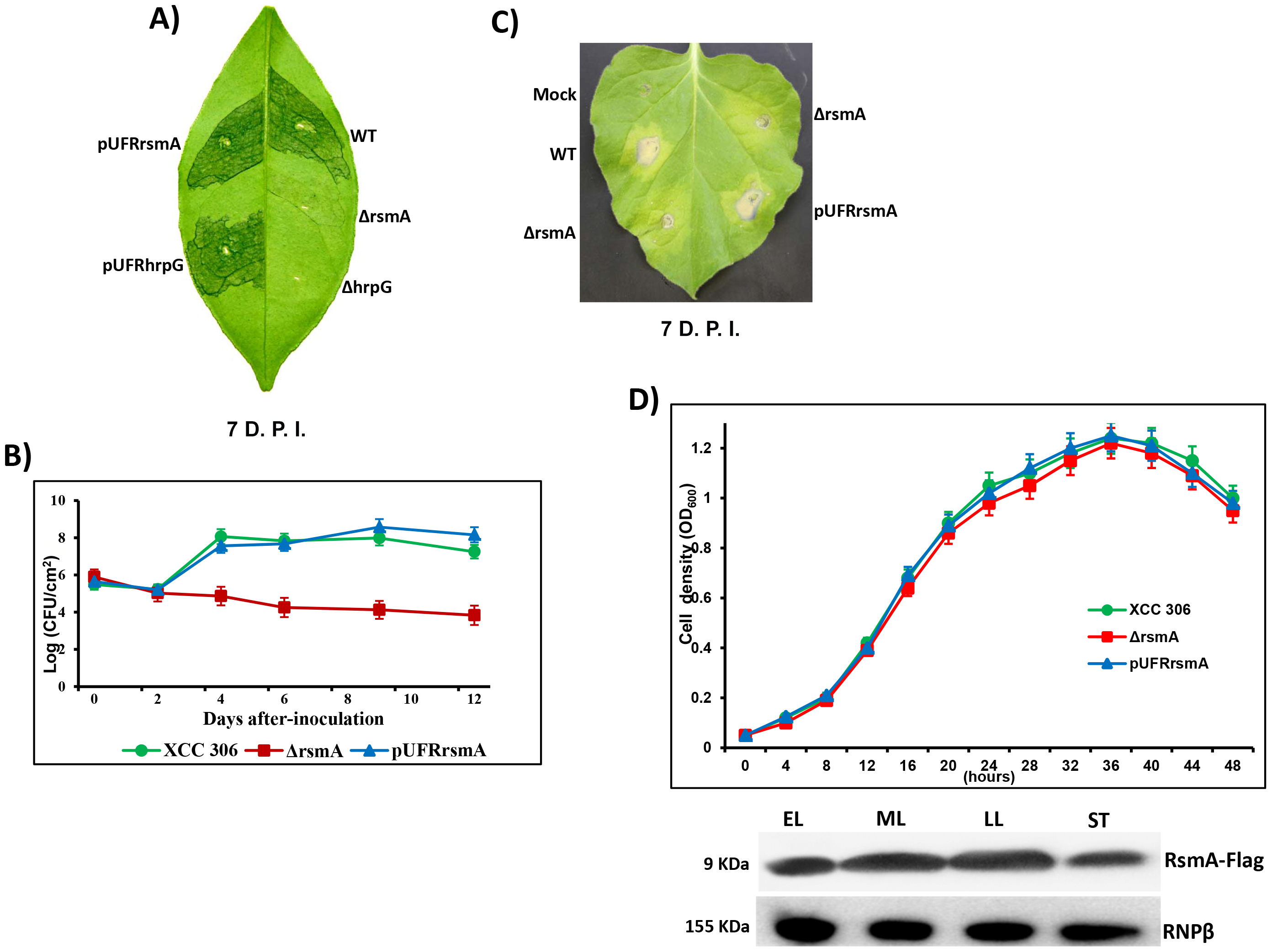 <i>rsmA</i> is required for the pathogenicity of <i>Xanthomonas citri</i> subsp. citri in the host plant sweet orange and contributes to the hypersensitive response (HR) in tobacco leaves (<i>Nicotiana benthamiana</i>).
