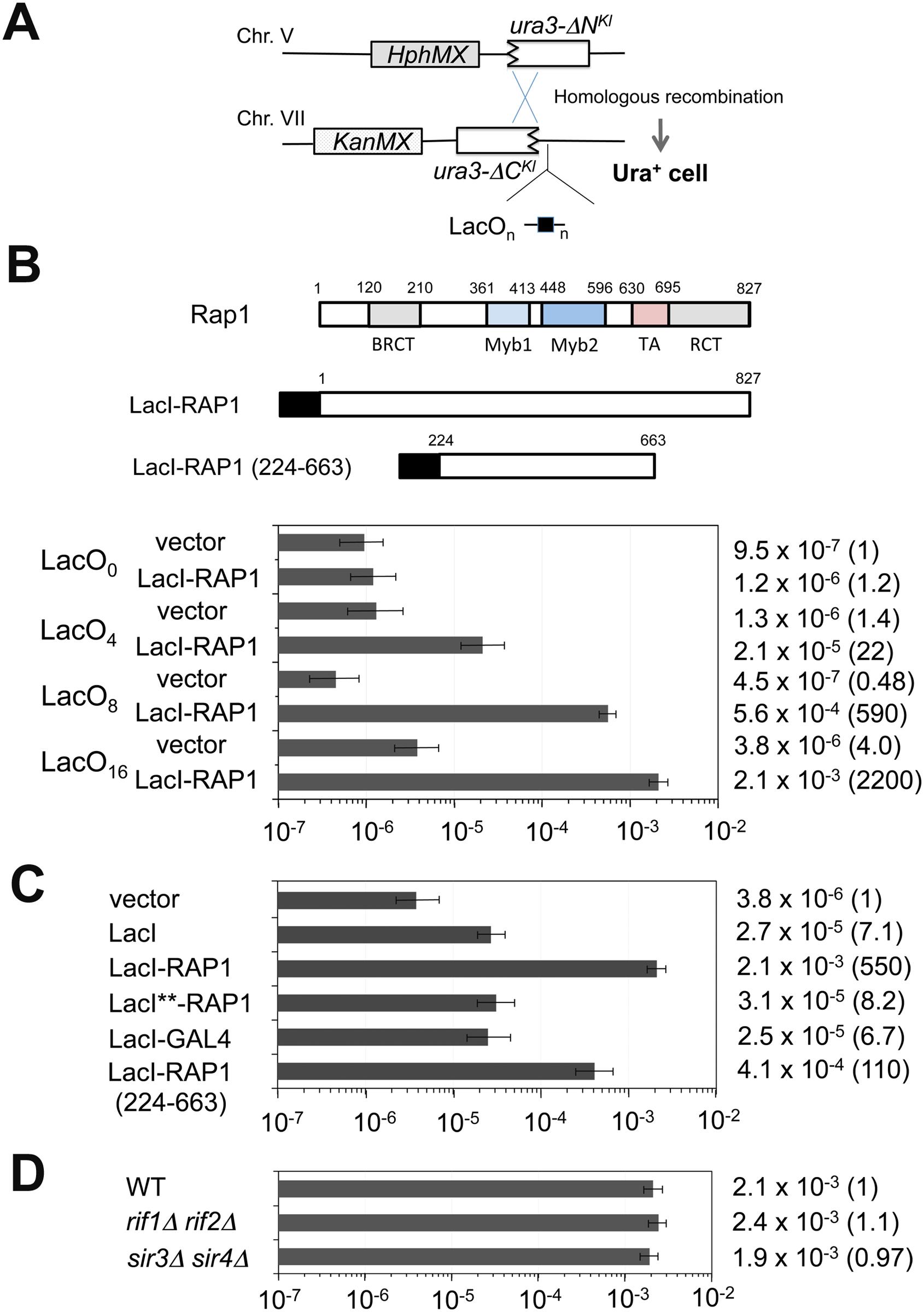 Effect of Rap1 tethering on homologous recombination between the <i>ura3-ΔN</i><sup><i>Kl</i></sup> gene and the <i>ura3-ΔC</i><sup><i>Kl</i></sup> gene.