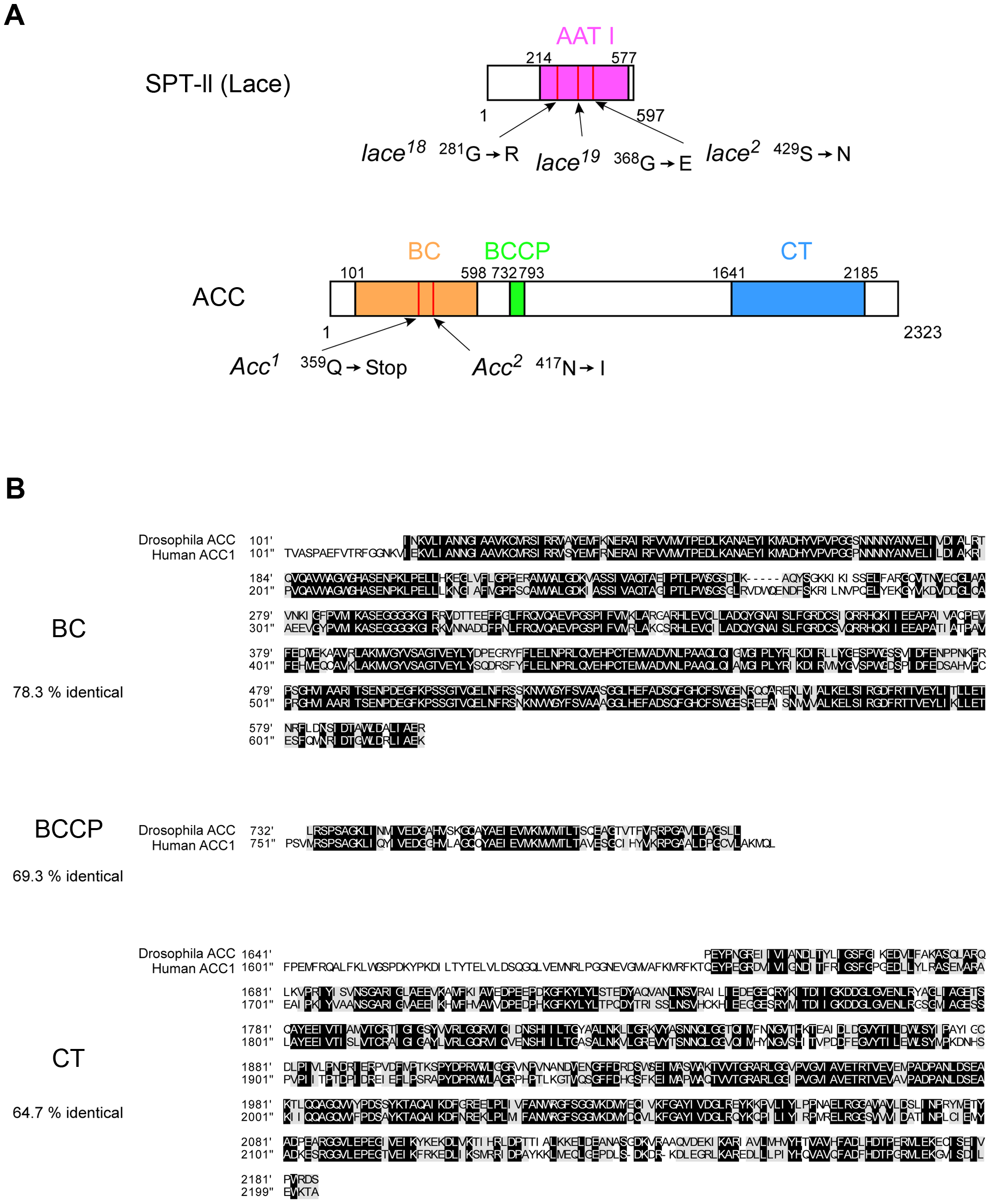 Analysis of molecular lesions associated with <i>lace</i> and <i>ACC</i> mutants and alignment of human and <i>D. melanogaster</i> ACC protein domains.