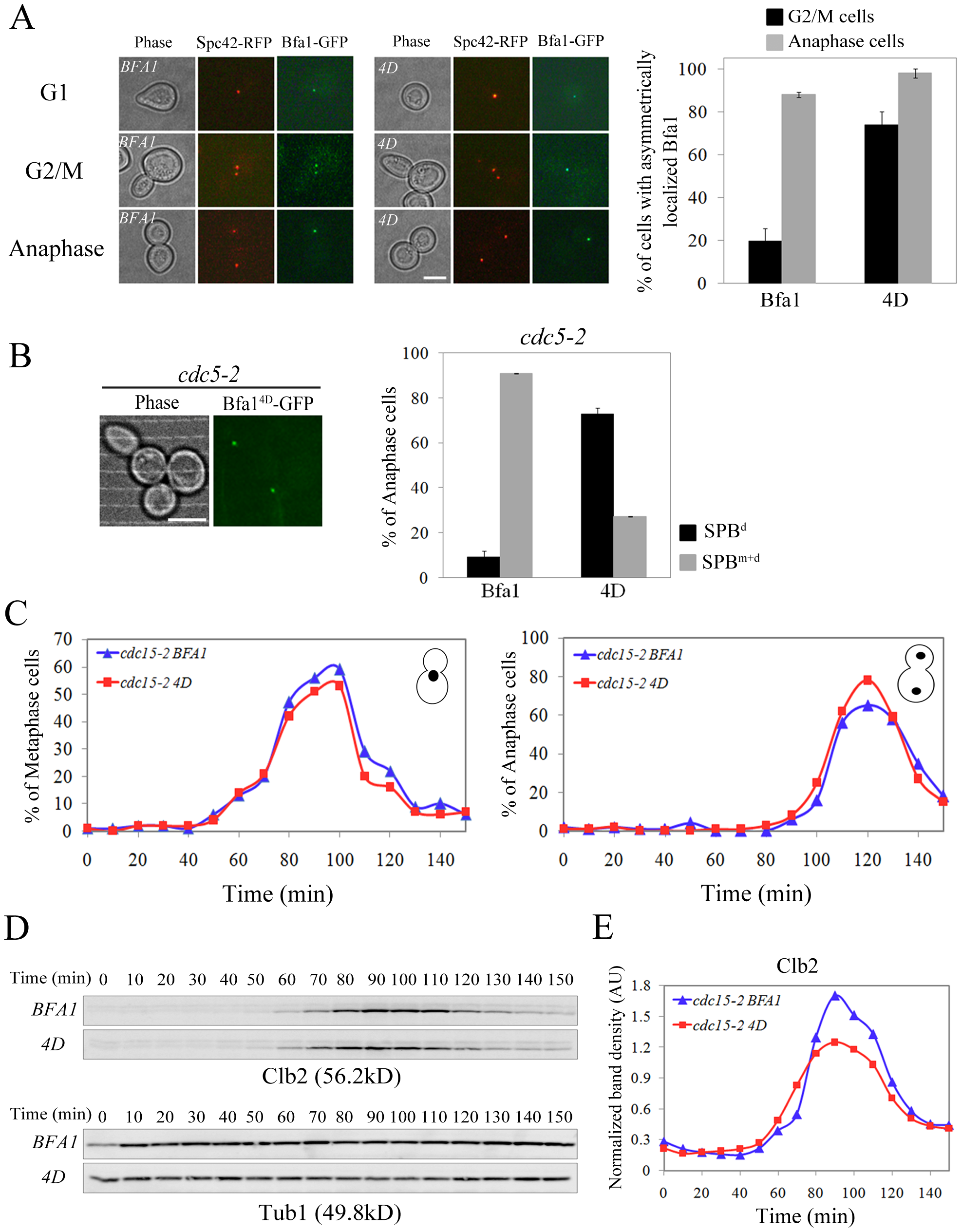 Localization and cell cycle progression of a phospho-mimetic Bfa1<sup>4D</sup> mutant.