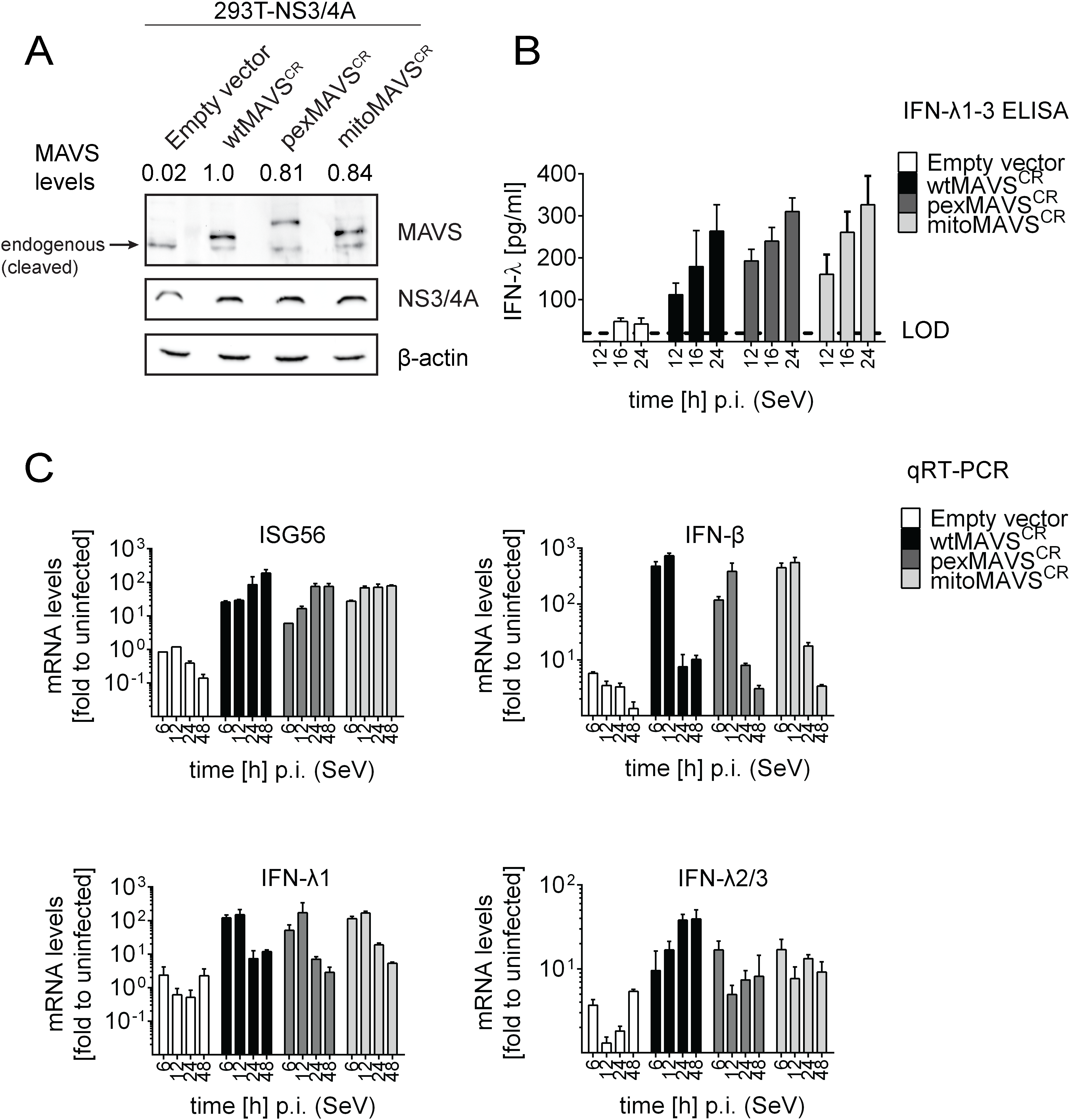 Comparable activation of type I and III IFN response by peroxisomal or mitochondrial MAVS upon virus infection.