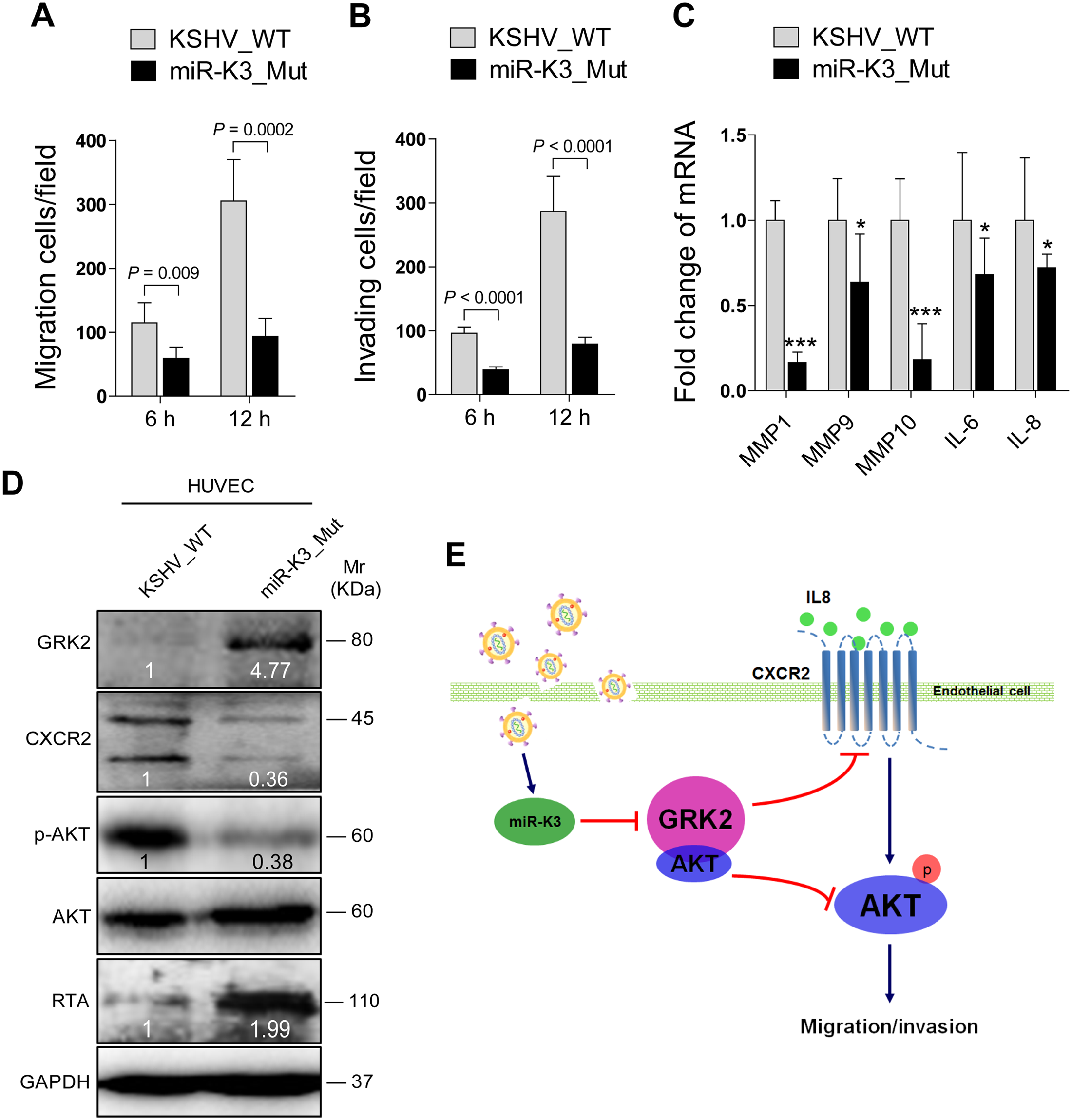 Deletion of miR-K3 from the KSHV genome attenuates KSHV induction of endothelial cell migration and invasion.