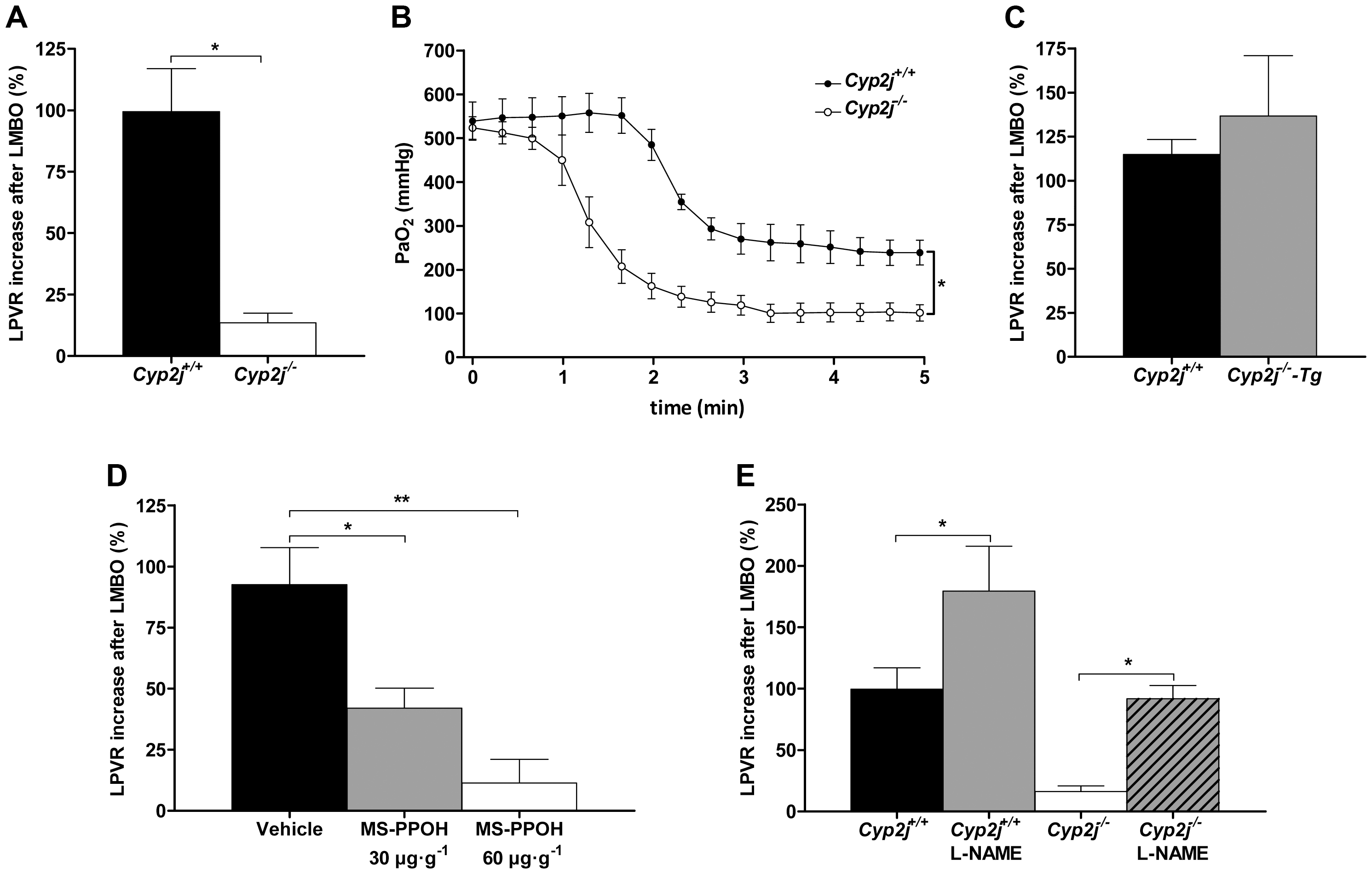 (A) Percent increase in left lung pulmonary vascular resistance (LPVR) in response to left mainstem bronchial occlusion (LMBO) in <i>Cyp2j<sup>+/+</sup></i> and <i>Cyp2j<sup>−/−</sup></i> mice (n = 10 per group).