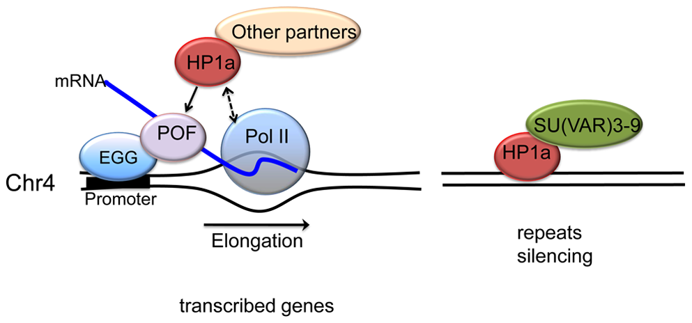 A model illustrating the two mechanisms proposed for HP1a assembly on chromosome 4.
