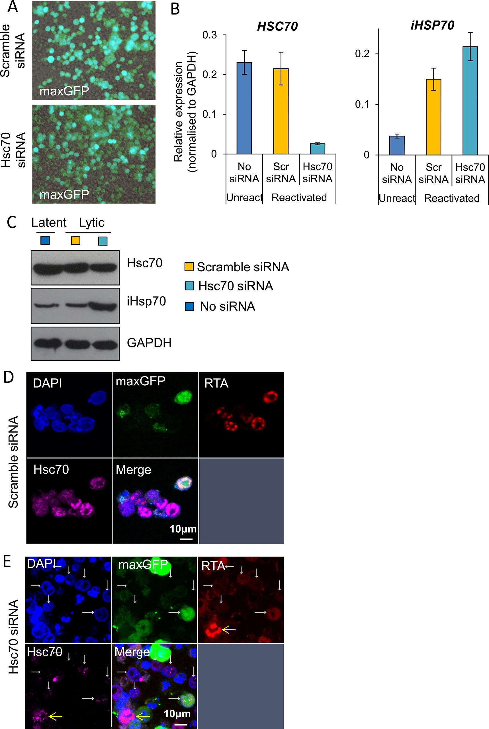 Depletion of Hsc70 abrogated KSHV RTC formation in TREx BCBL1-RTA cells.