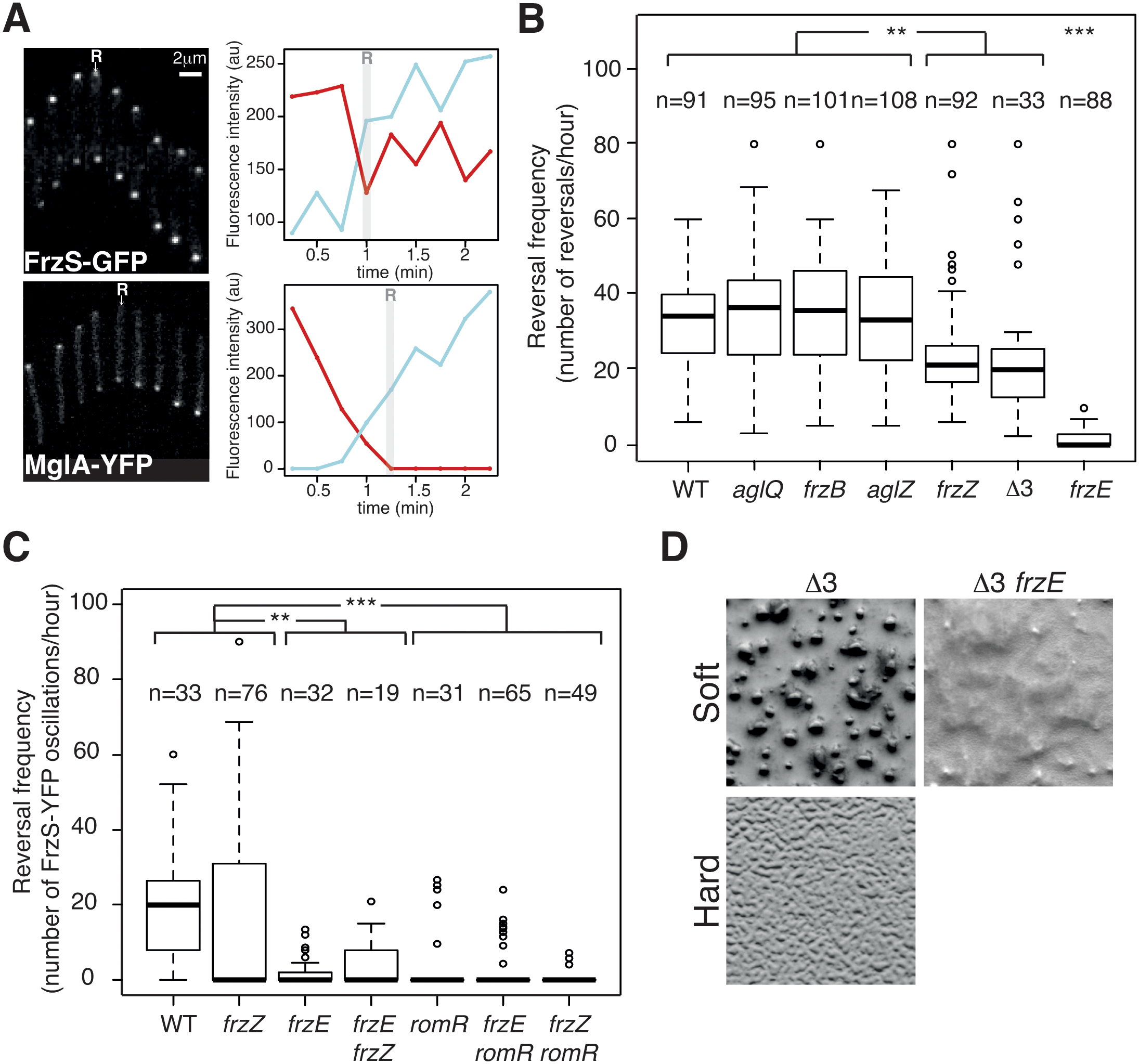 The core Frz-apparatus can promote S-motility-dependent behaviors.