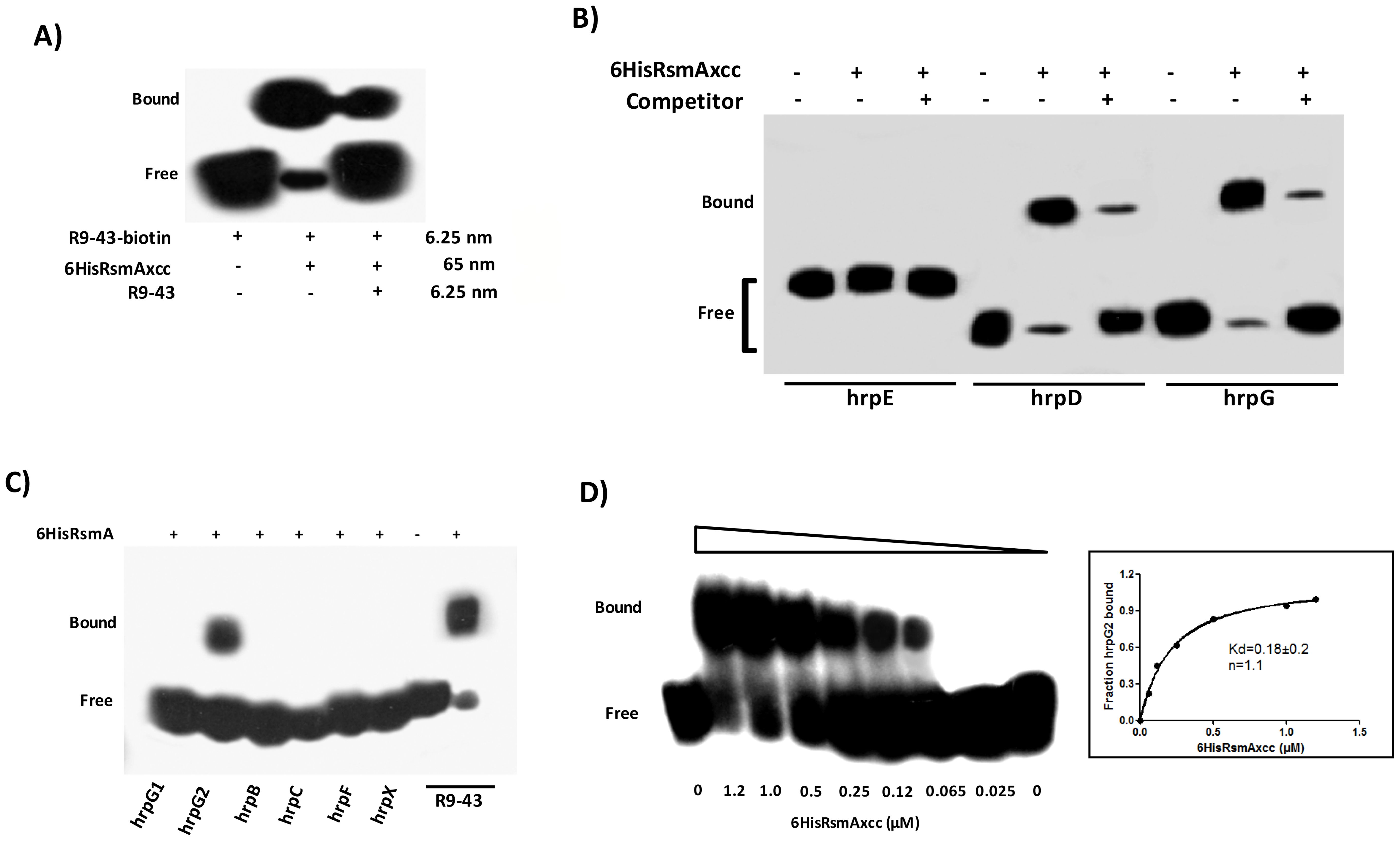 RNA mobility shift assays with purified 6HisRsmA of <i>X. citri</i> subsp. citri