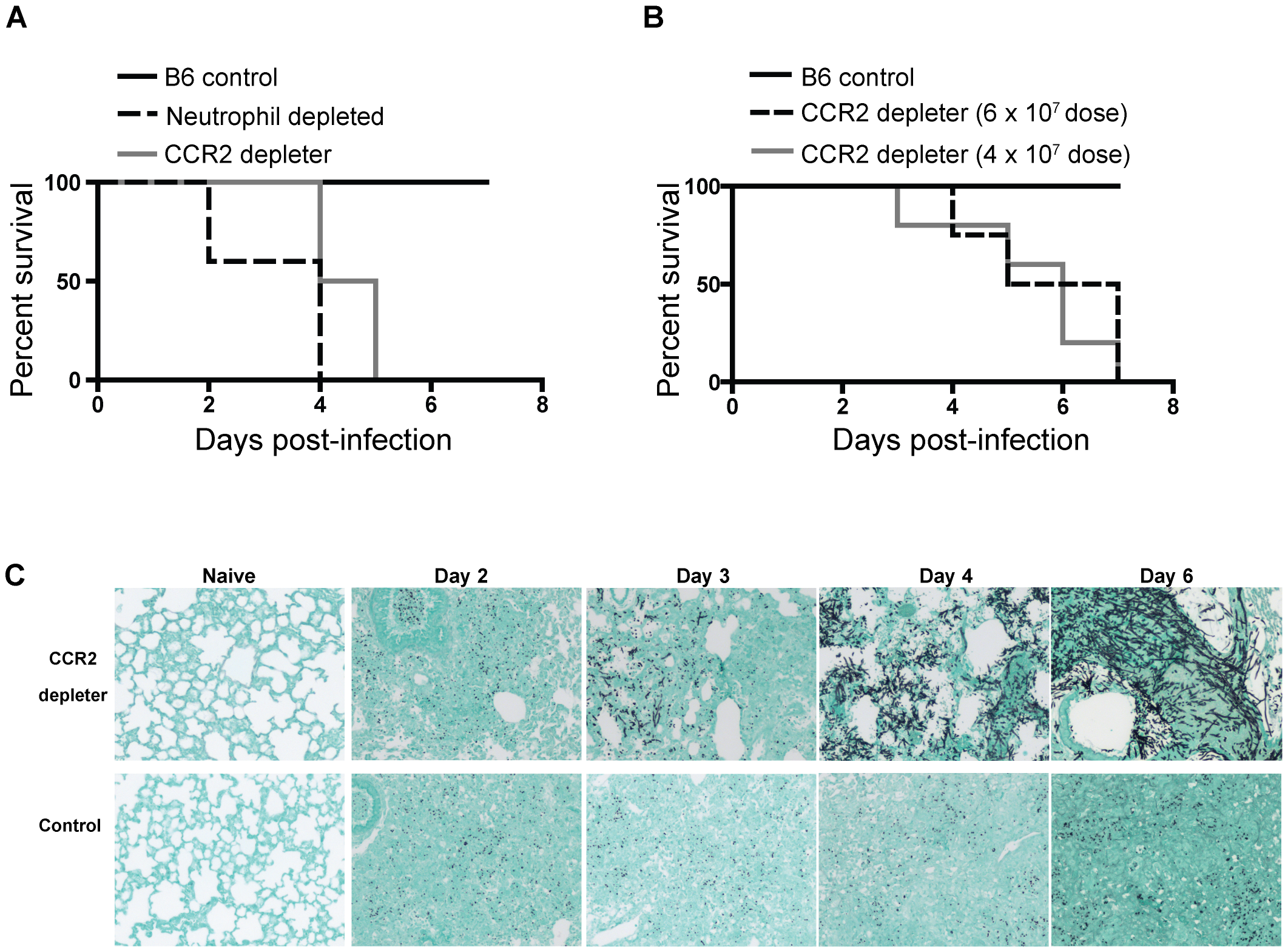 CCR2<sup>+</sup> cells protect against Invasive Aspergillosis.