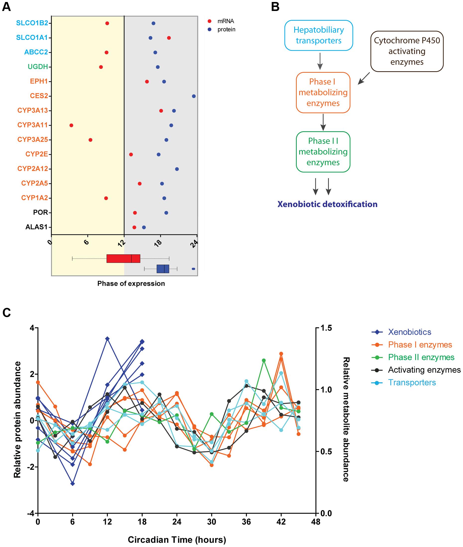 Circadian regulation of metabolism of xenobiotics is large shaped post-transcriptionally.