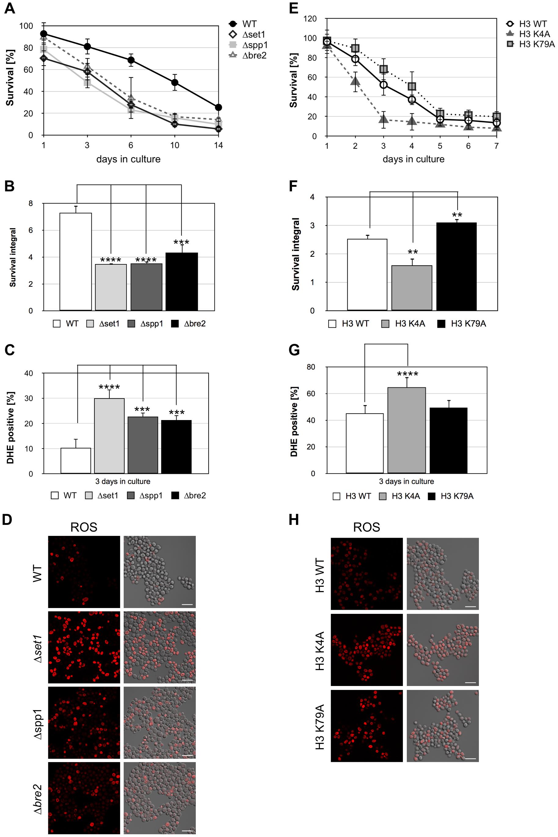Disruption of H3K4 trimethylation enhances cell death.