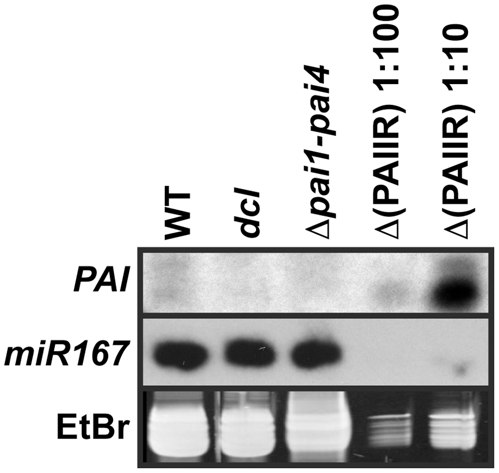 The <i>dcl</i>2 <i>dcl3 dcl4</i> mutant is depleted for <i>PAI</i> sRNAs.