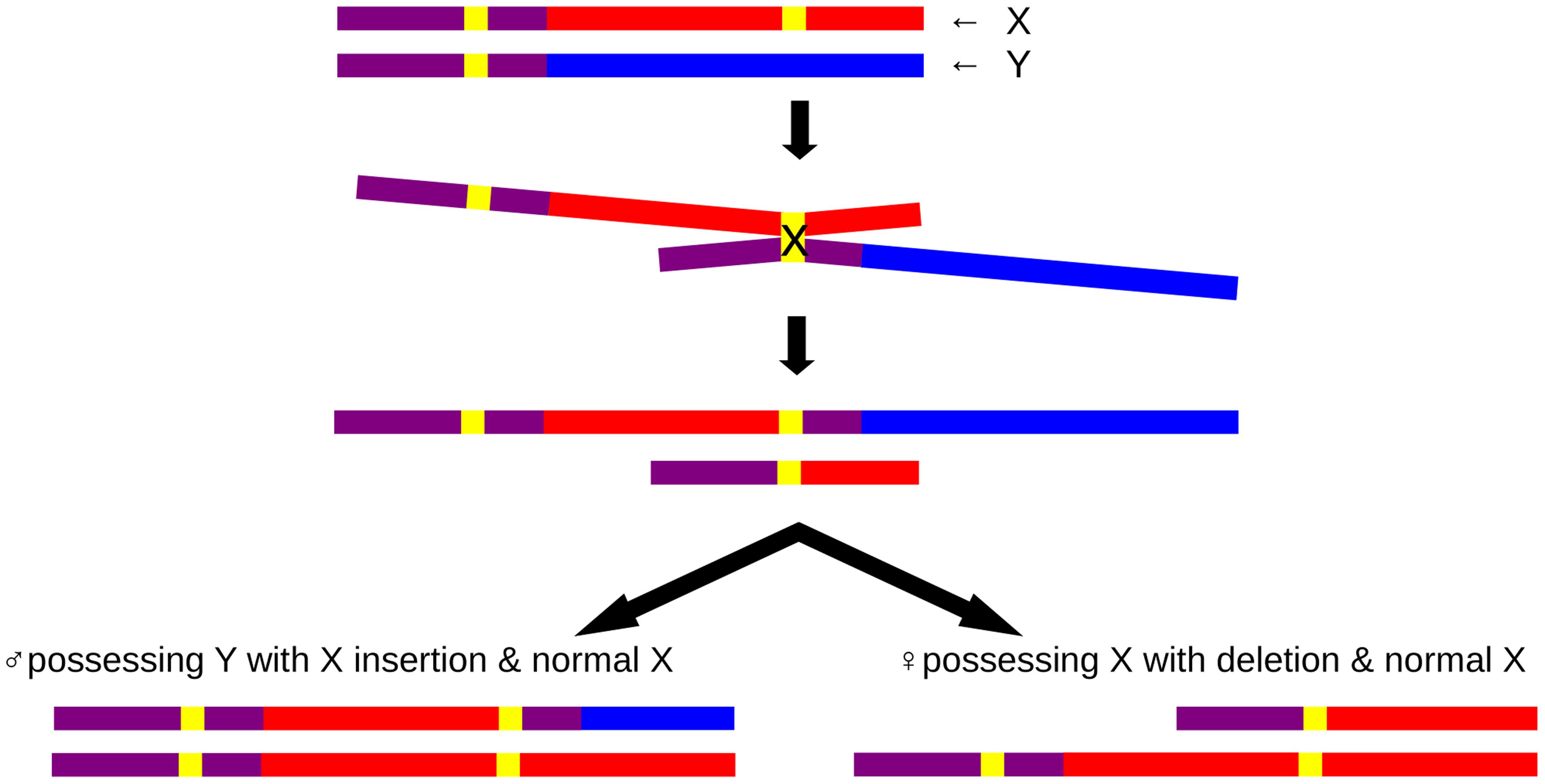 Schematic insertional translocation representation by non-allelic homologous recombination.