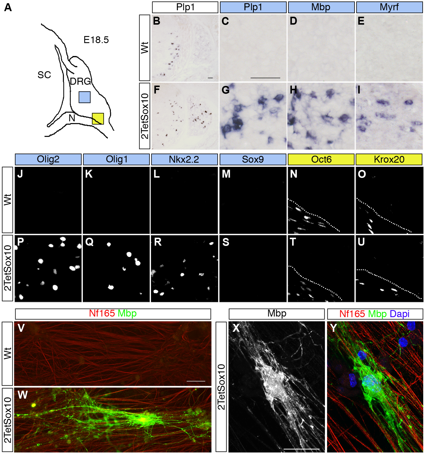 Sox10 overexpression in DRG leads to appearance of oligodendrocyte-like cells.