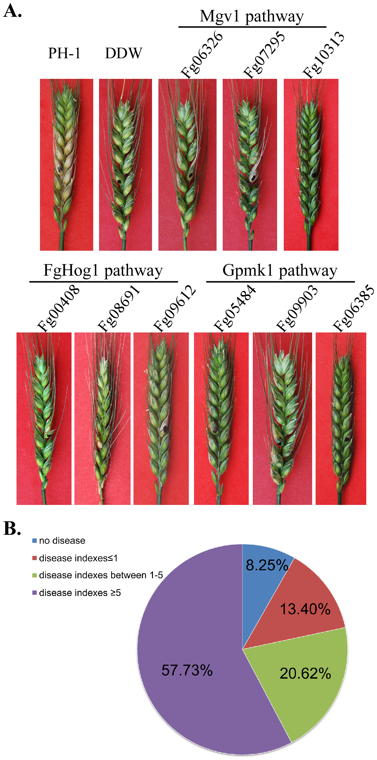 Infection assays with flowering wheat heads.