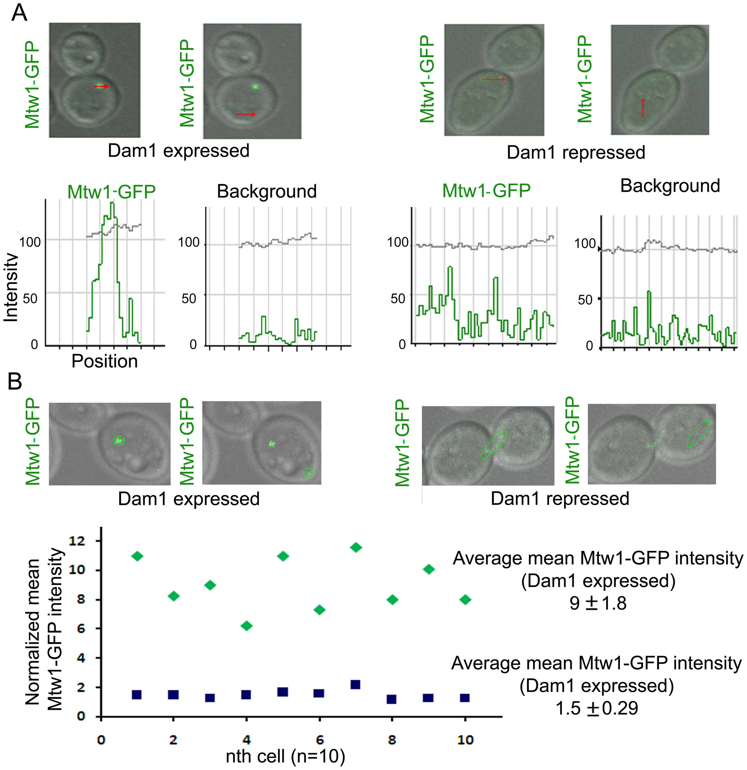 Dam1 depletion results in reduced localization of Mtw1 at the kinetochores.