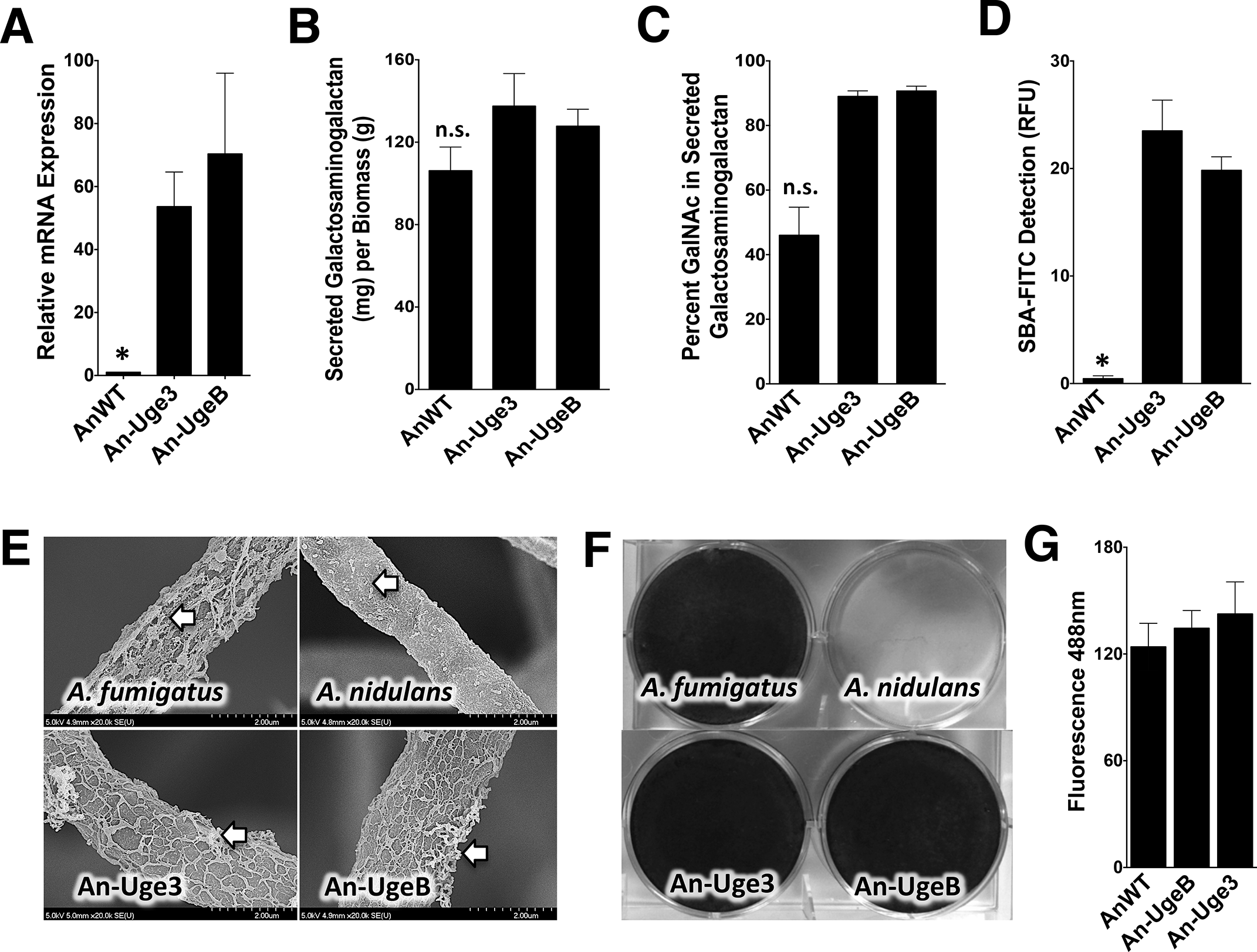 Overexpression of <i>uge3</i> or <i>ugeB</i> in <i>A</i>. <i>nidulans</i> increases the GalNAc content of GAG and enhances the formation of adherent biofilms.