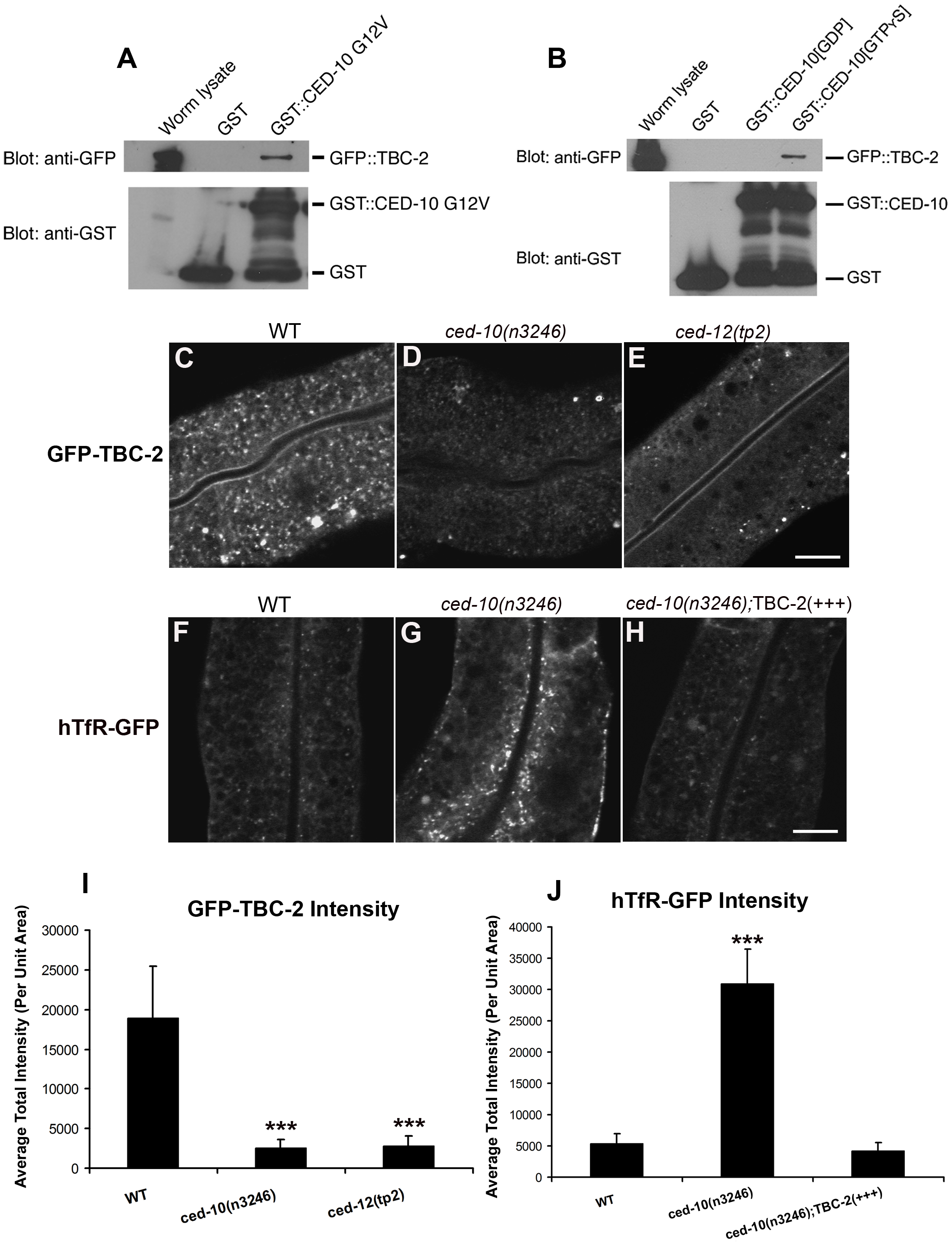 TBC-2 is recruited to endosomes by CED-10.