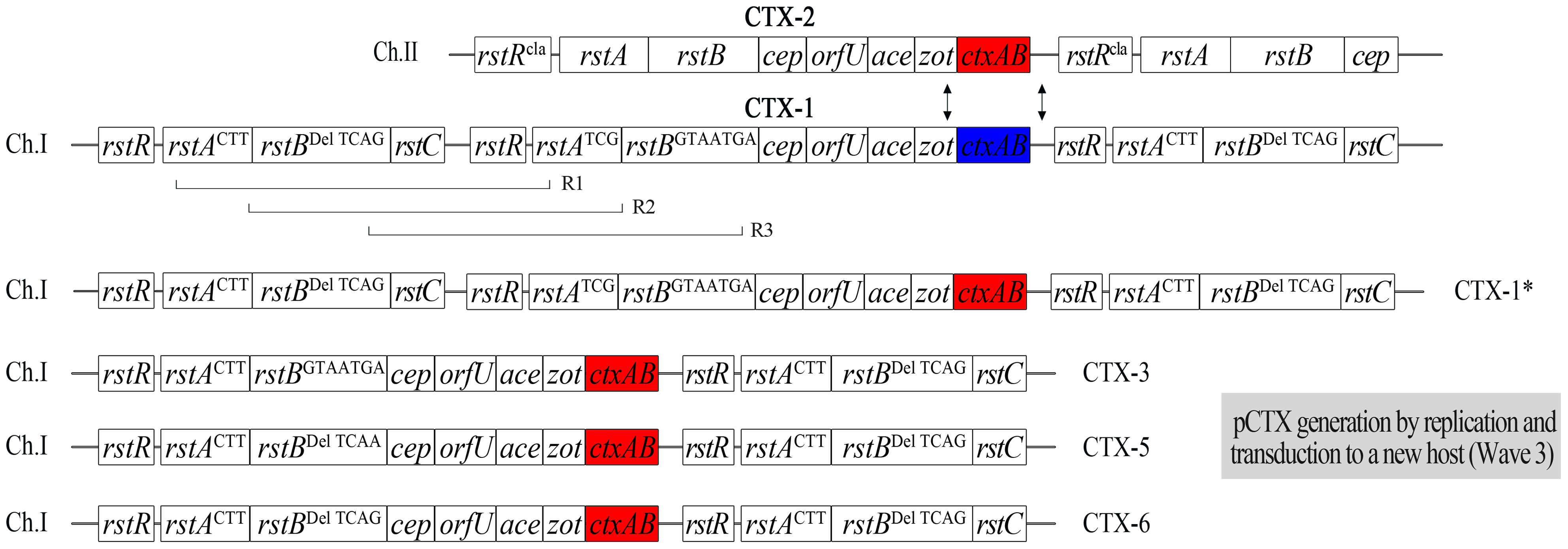 The generation of new mosaic CTX phages from V212-1 by inter-strand recombination between CTX phages and intra-strand recombination between CTX-1 and RS1 on chromosome 1.