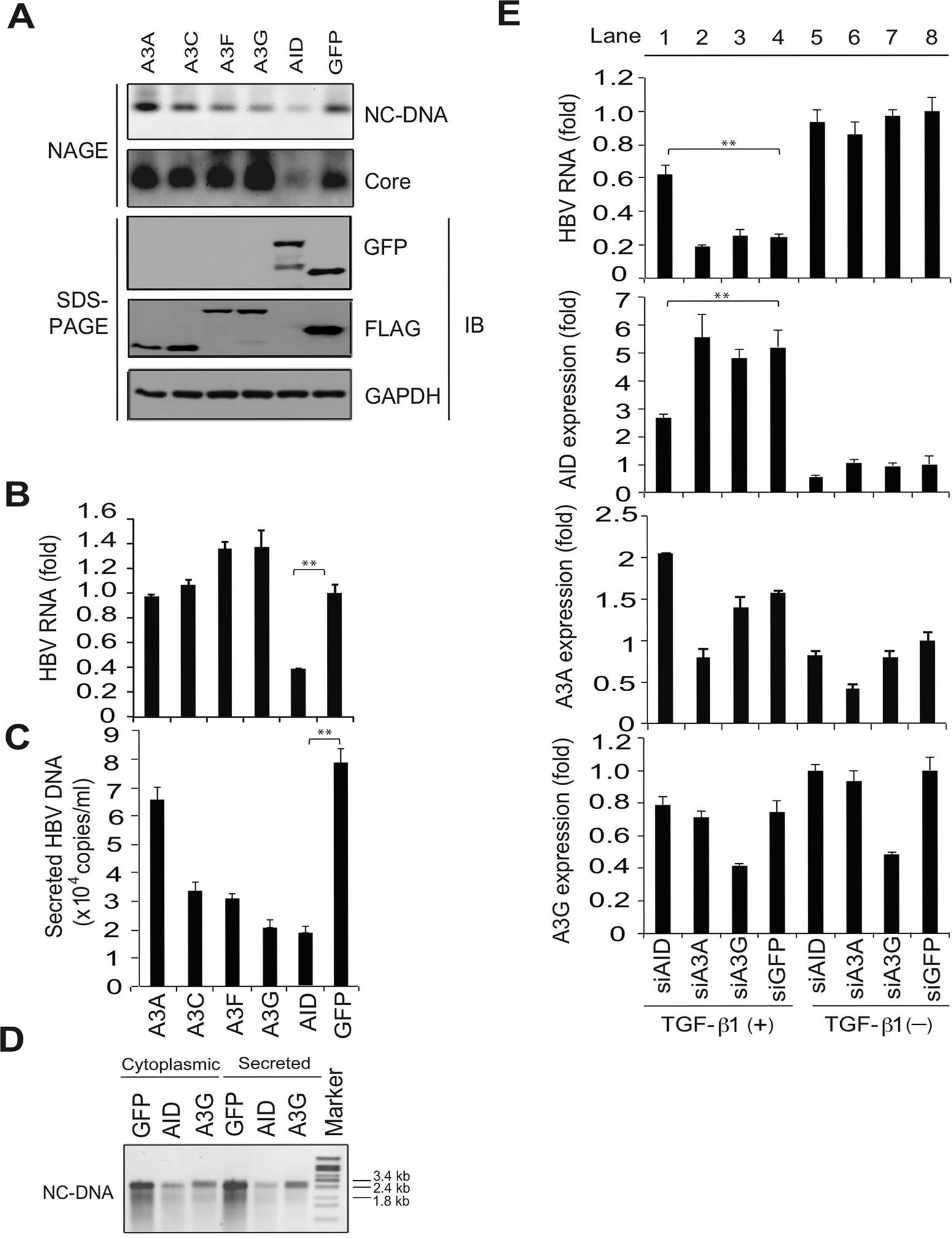 AID is responsible for TGF-β1-mediated reduction of HBV transcripts.