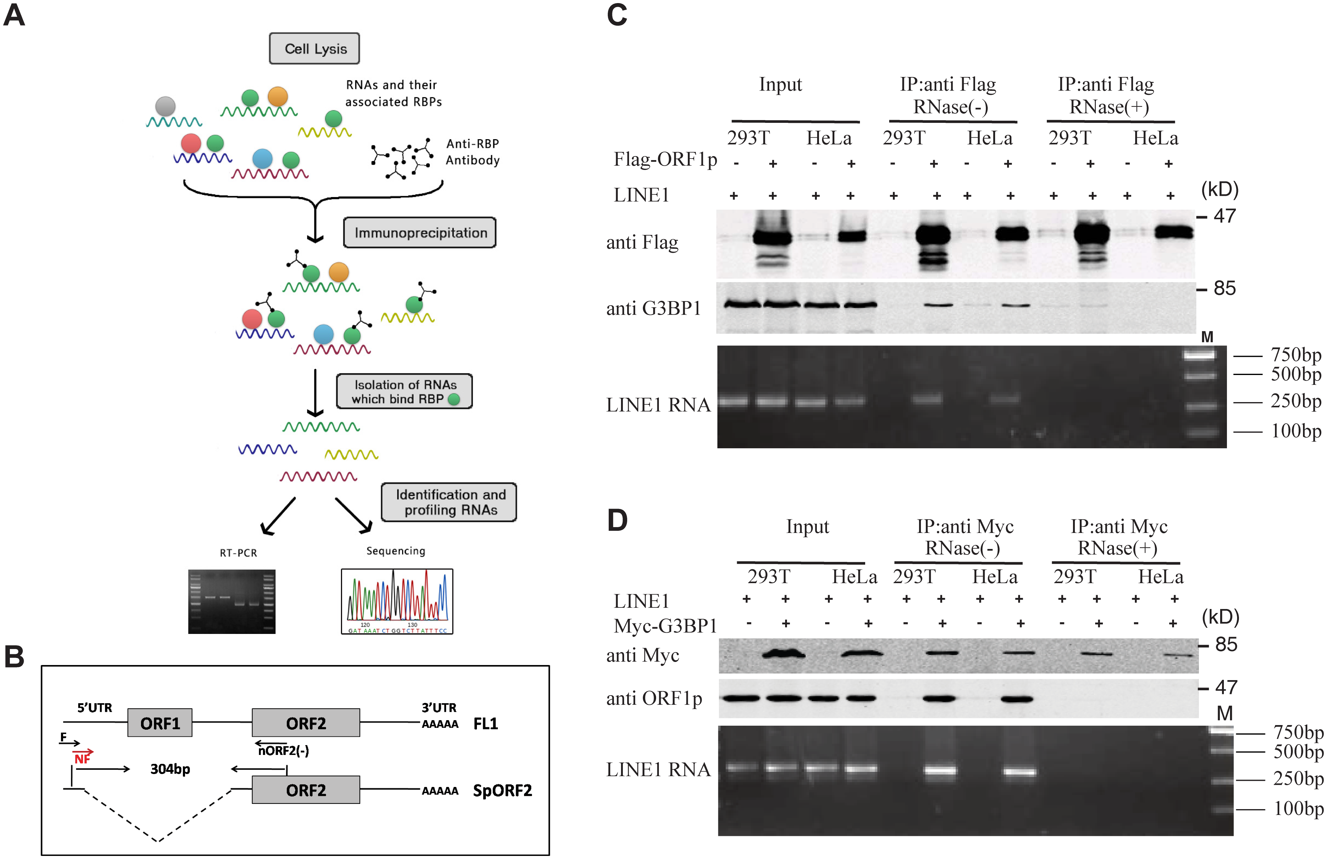 Association of LINE-1 RNP with stress granule marker G3BP1.