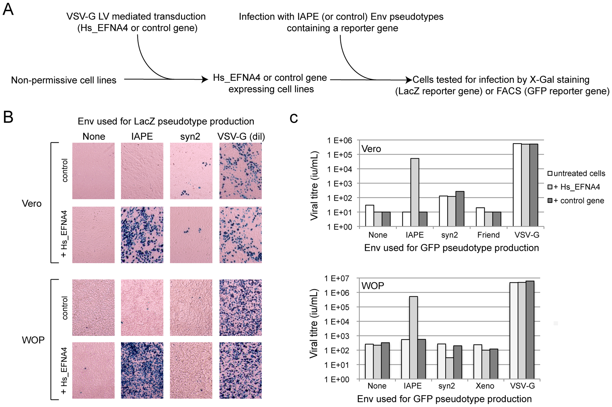 Expression of EFNA4 is sufficient to render cells susceptible to infection by IAPE Env pseudotypes.