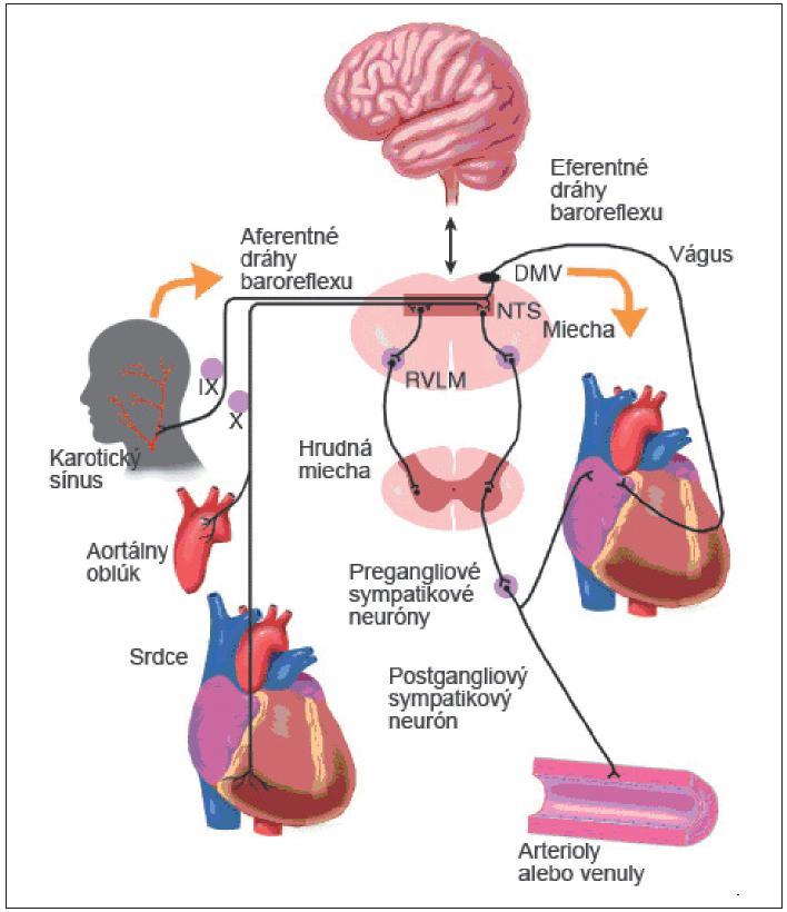 Komponenty baroreflexu. RVLM – rostrálna ventrolaterálna medulla, NTS – nucleus tractus solitarius, DMV – dorzálne motorické jadro nervus vagus (modifikované podľa Robertson et al.)
