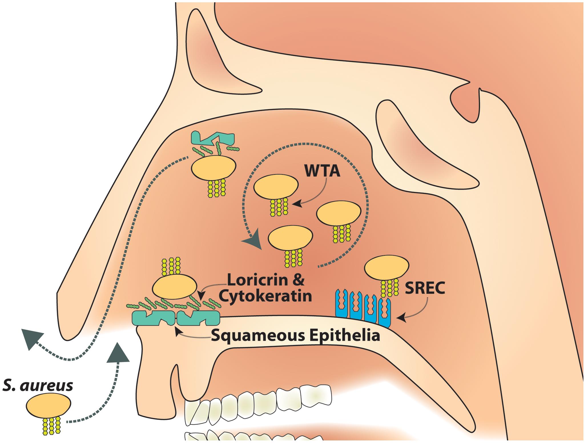 Model of SREC-I role in nasal colonization.