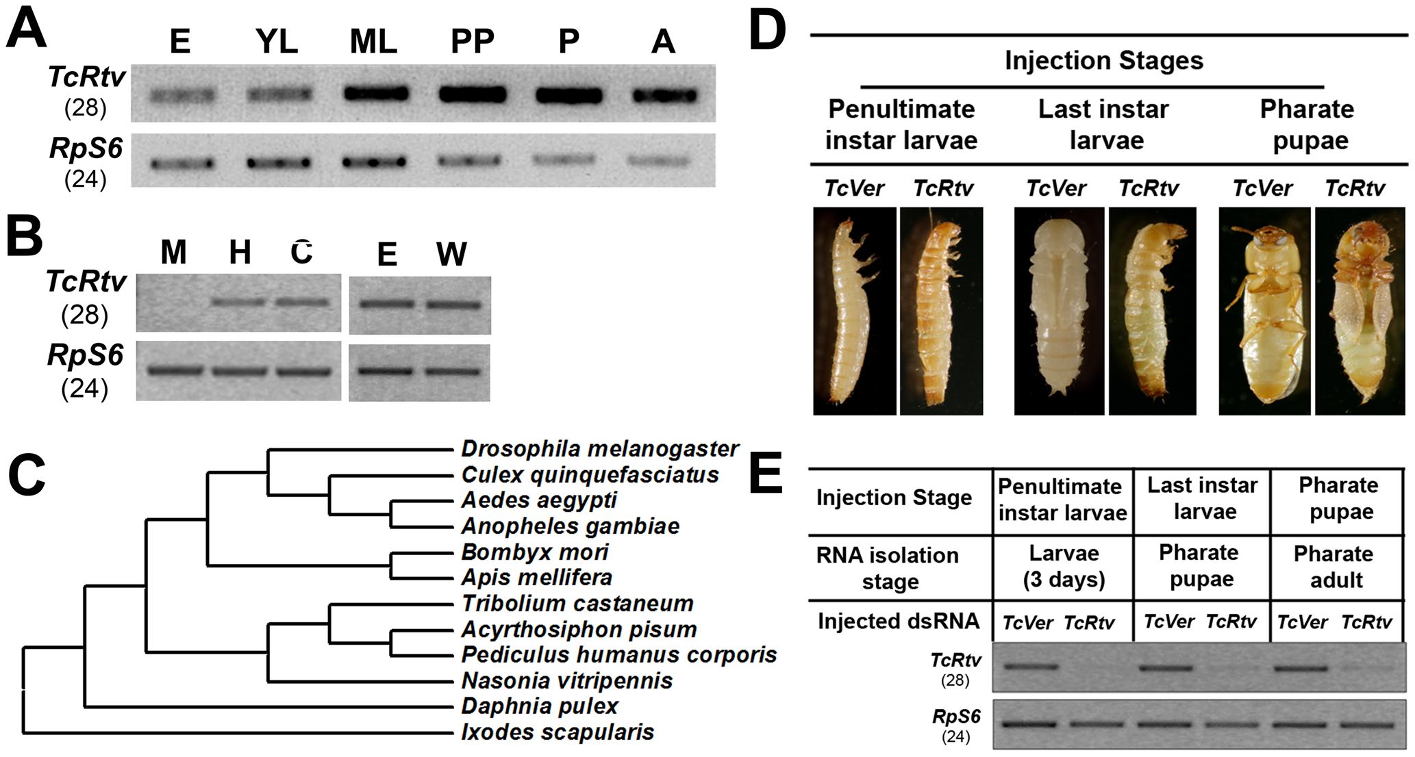 TcRtv is a conserved protein required for insect molting.