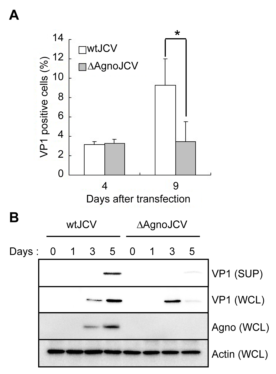 Agnoprotein facilitates virion release and enhances viral propagation.