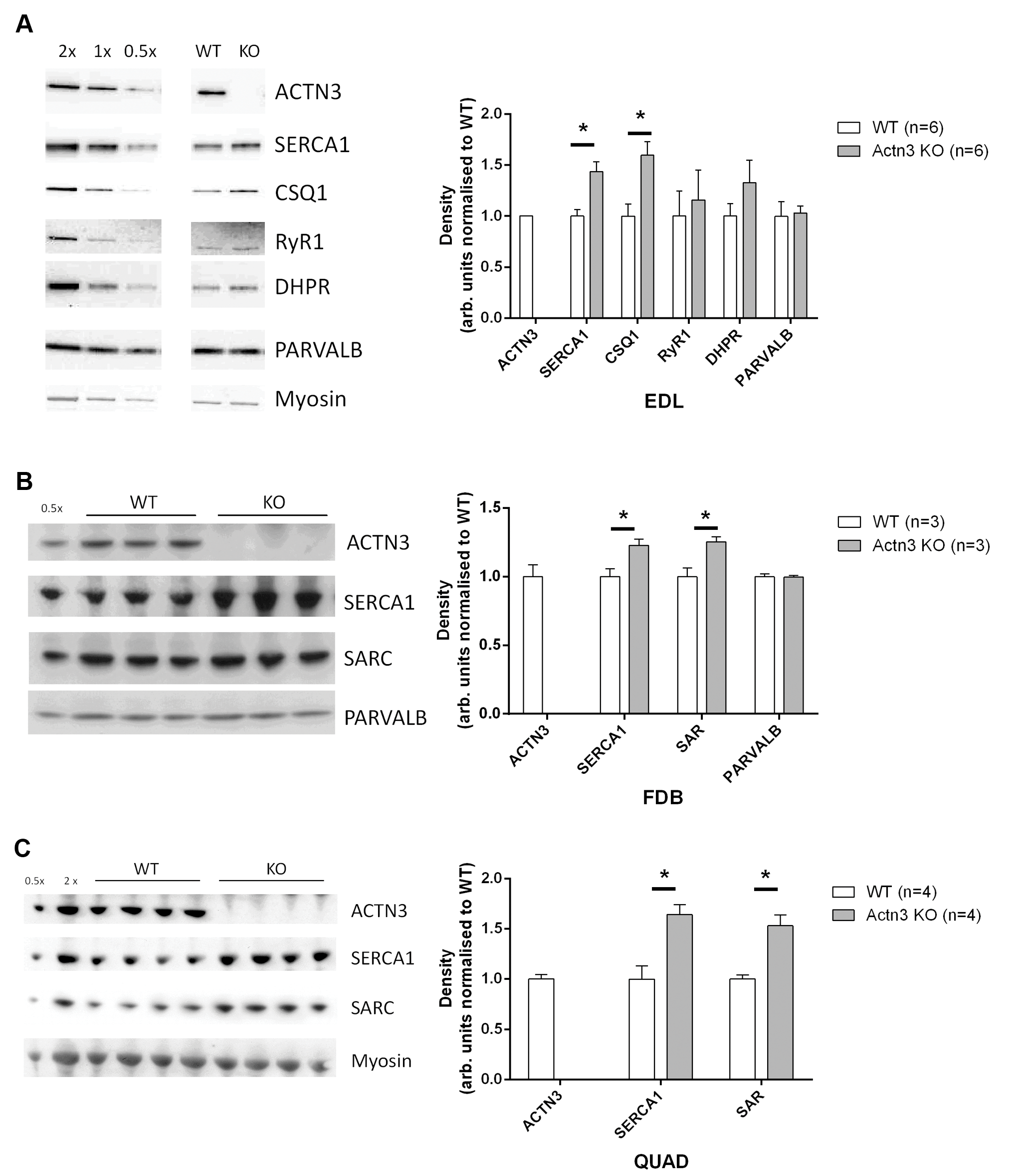 Expression of major Ca<sup>2+</sup>-handling proteins in muscles of WT and <i>Actn3</i> KO mice.