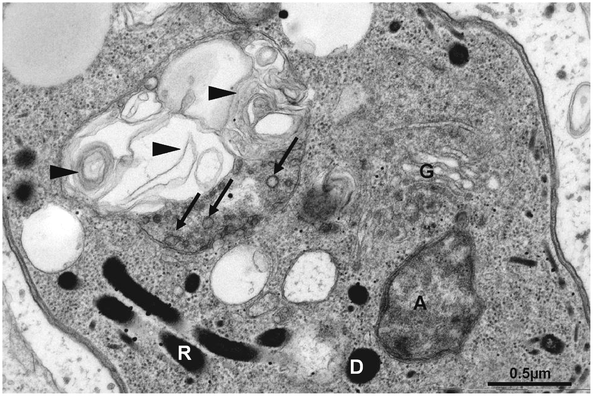 Altered mitochondrial ultrastructure in TgAtg3-depleted tachyzoites observed by electron microscopy.