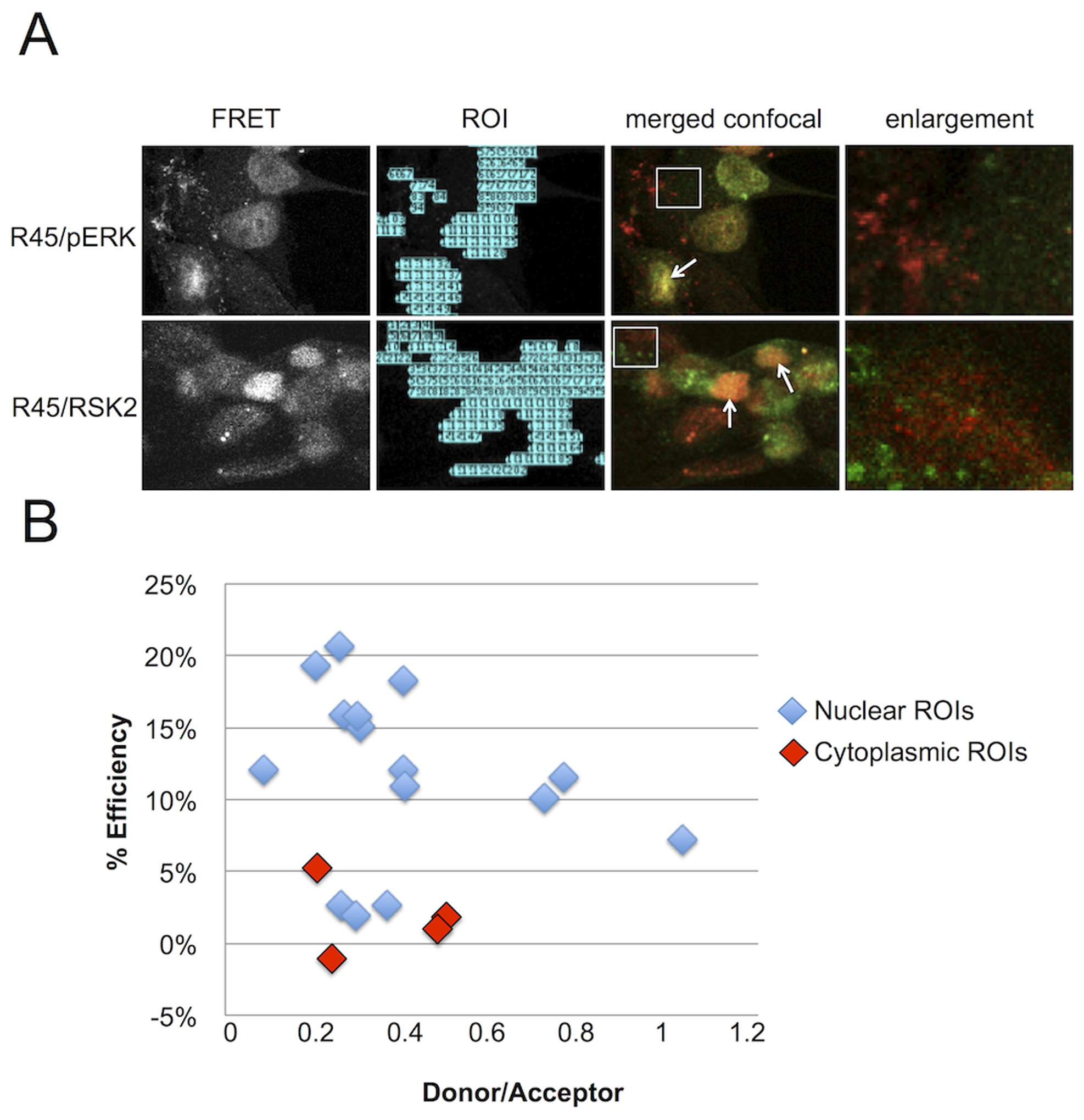 FRET analysis of RRV infected RhF reveals R45 in close proximity to both pERK2 and pRSK2 within the nuclei, but not the cytoplasm.