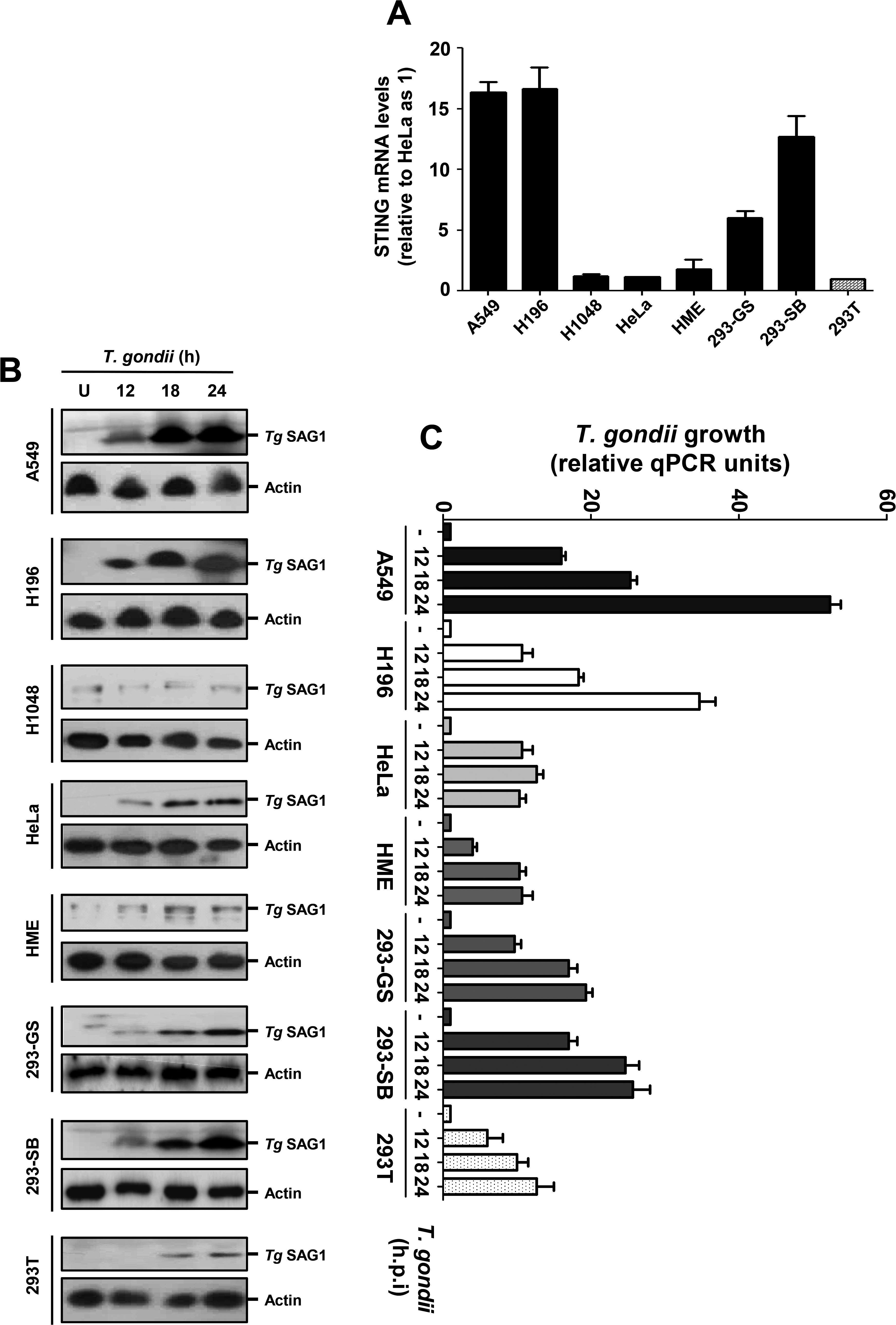 STING levels and <i>T</i>. <i>gondii</i> replication in selected human cells.