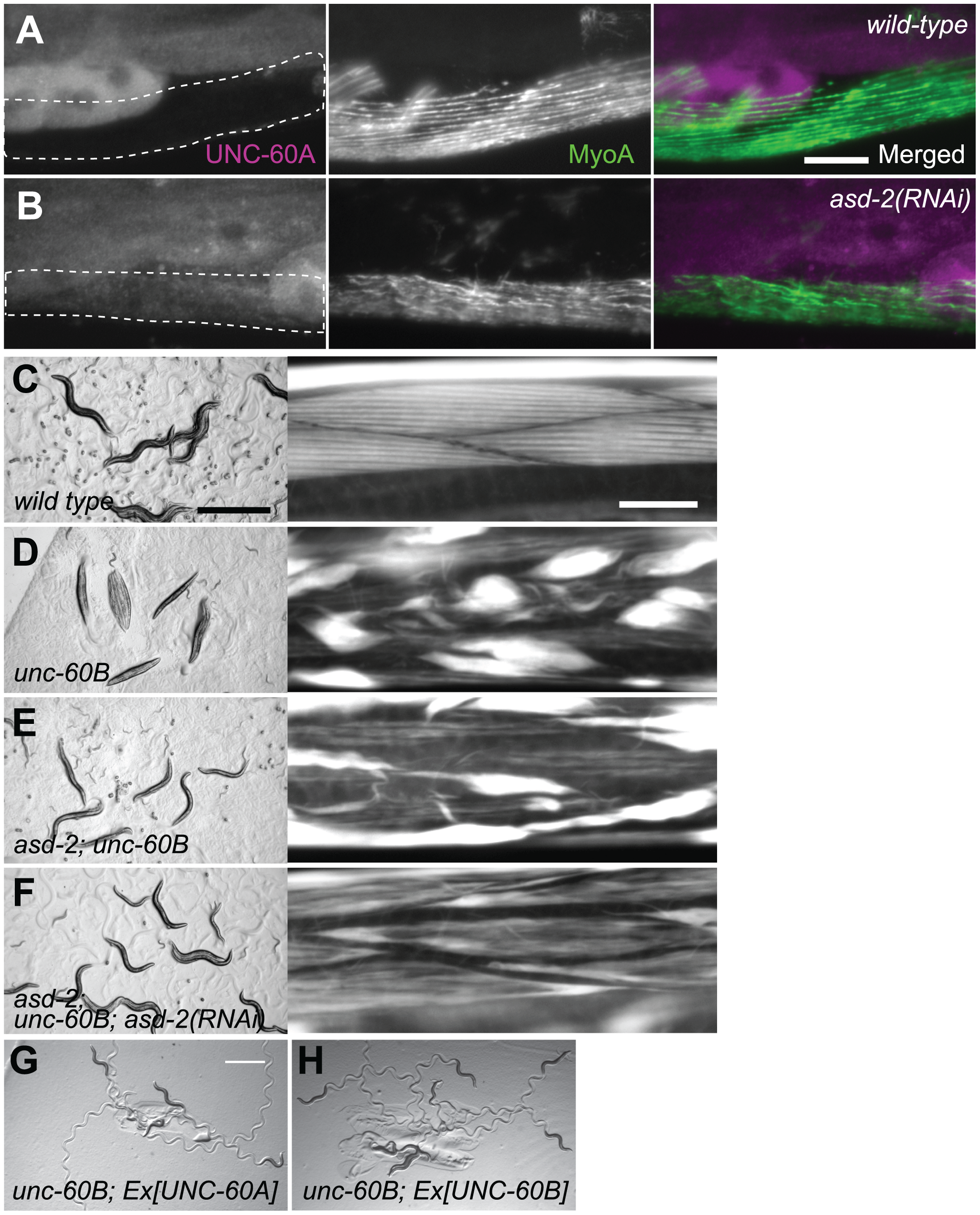 ASD-2 regulates alternative pre-mRNA processing of the endogenous <i>unc-60</i> gene in body wall muscles.