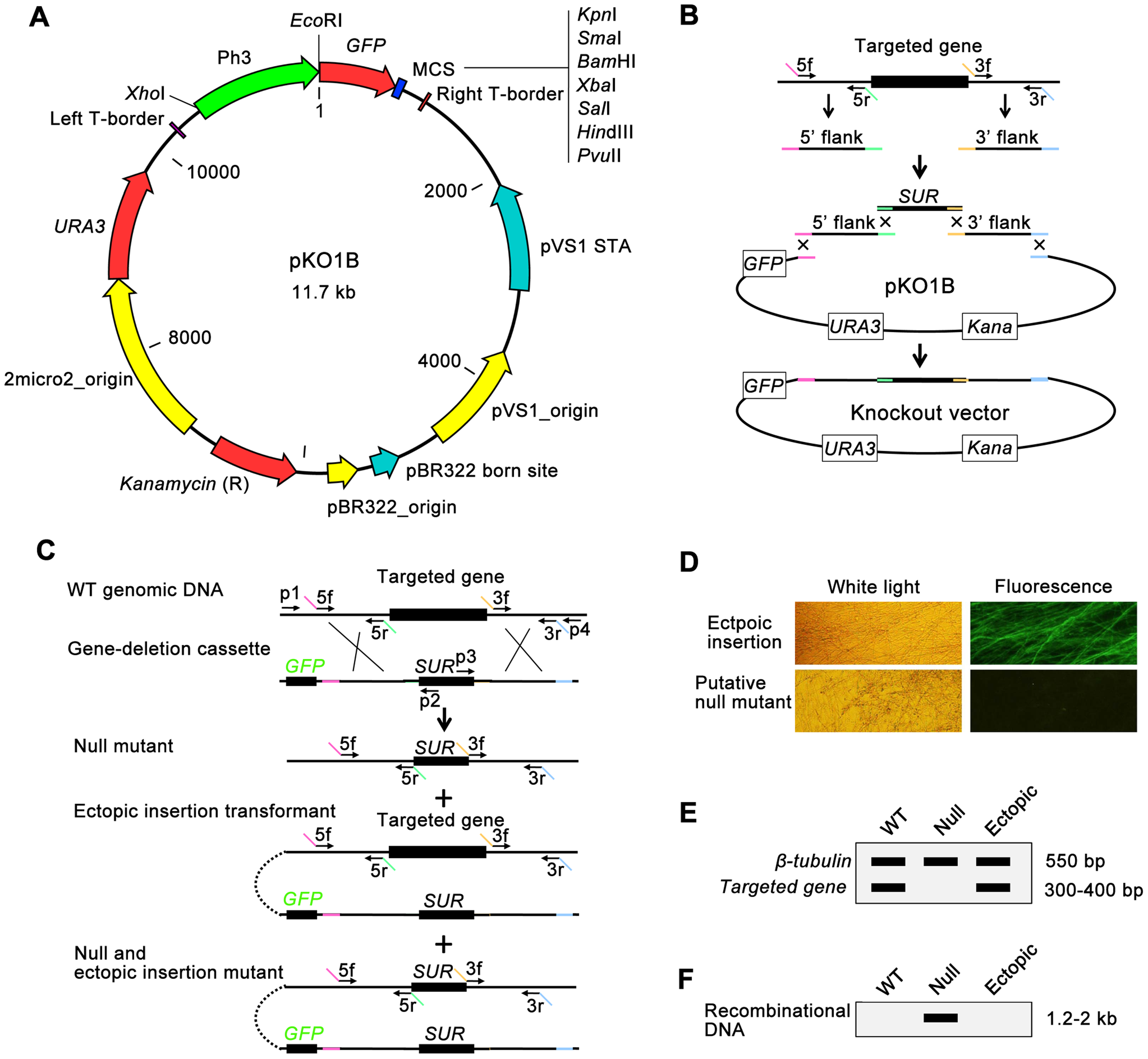 Overview of the high-throughput gene knockout system in fungus.