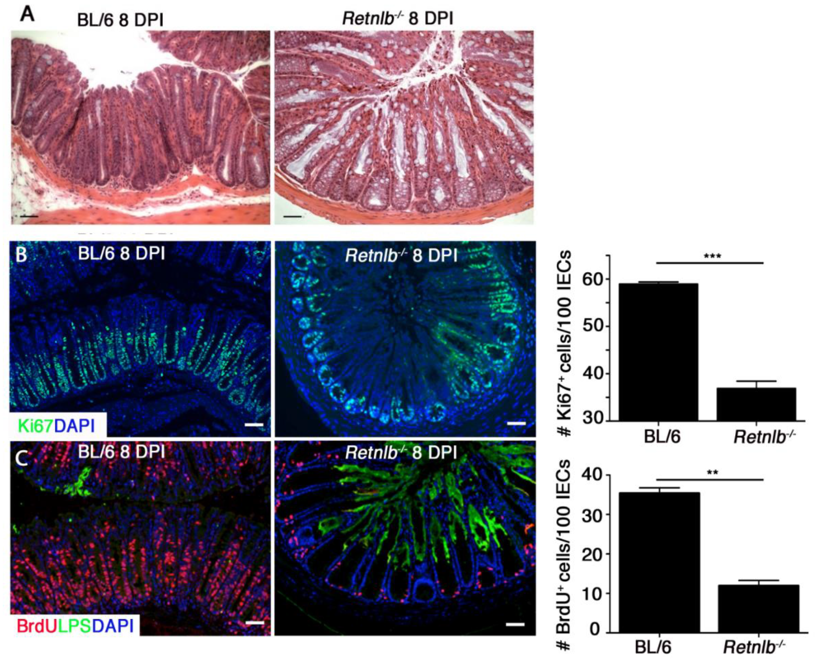 <i>Retnlb</i><sup><i>-/-</i></sup> mice display defective epithelial proliferative responses predisposing to deep infection of colonic crypts.