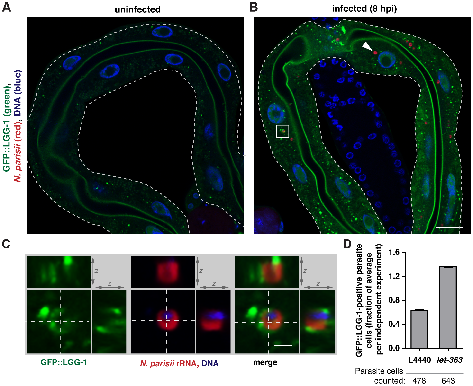 Targeting of <i>N. parisii</i> cells by the autophagy marker GFP::LGG-1 increases upon <i>let-363</i>/TOR RNAi.