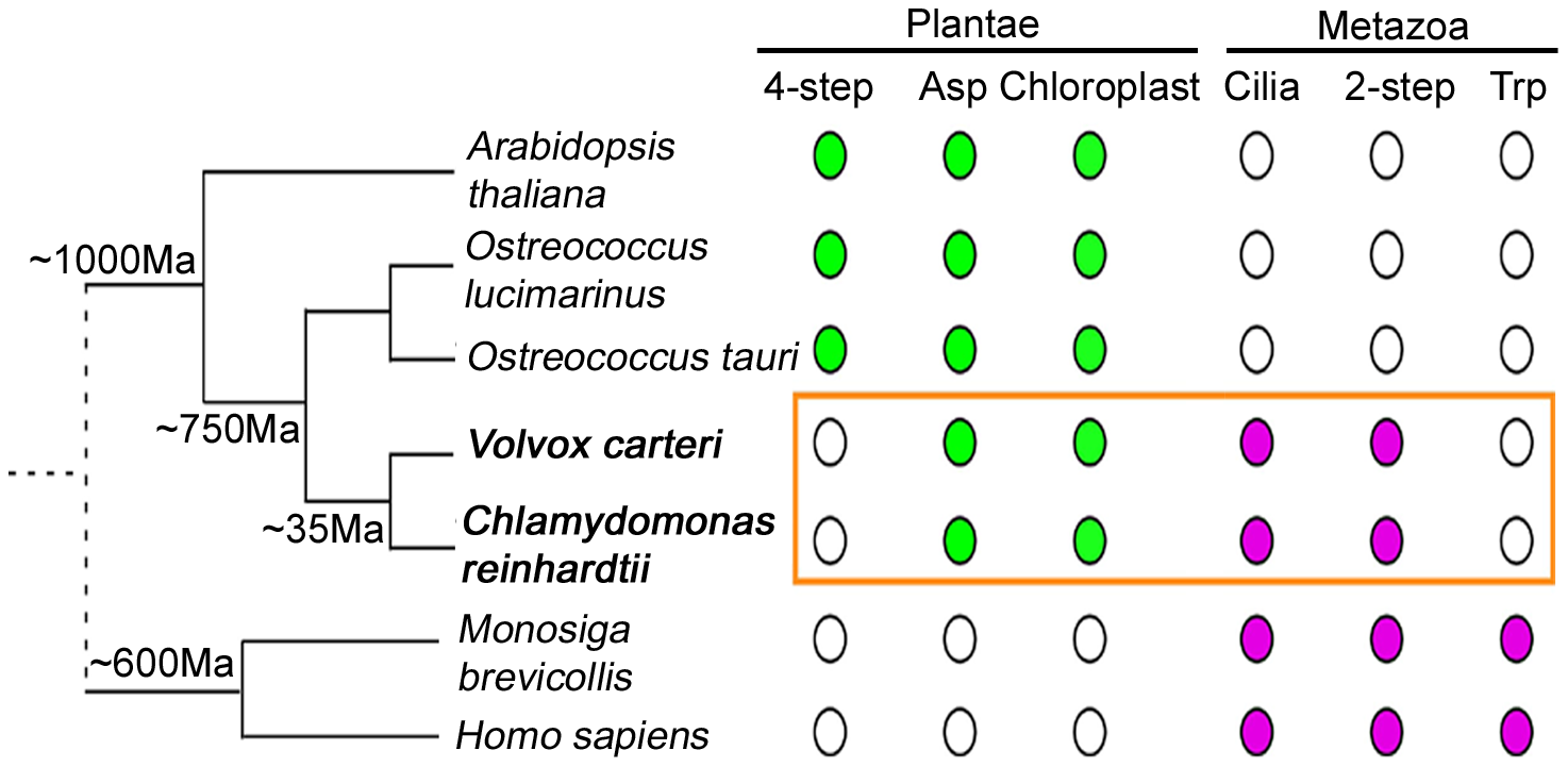 NAD<sup>+</sup> biosynthesis in <i>Chlamydomonas</i> reveals evolutionary aspects.