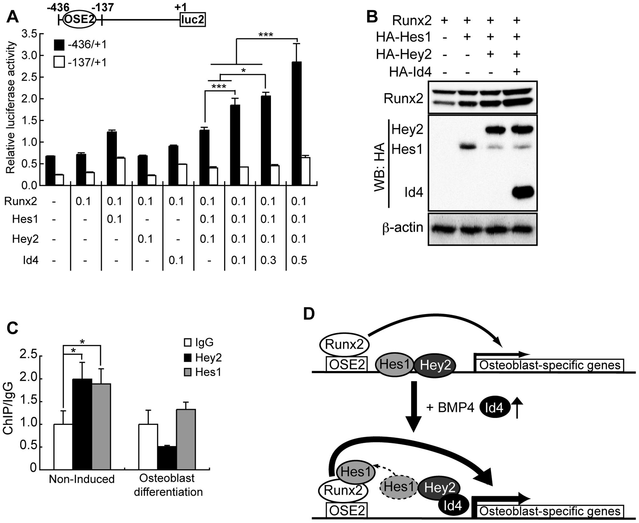 Id4 enhanced Runx2 transcriptional activity through stabilization of Runx2 protein.