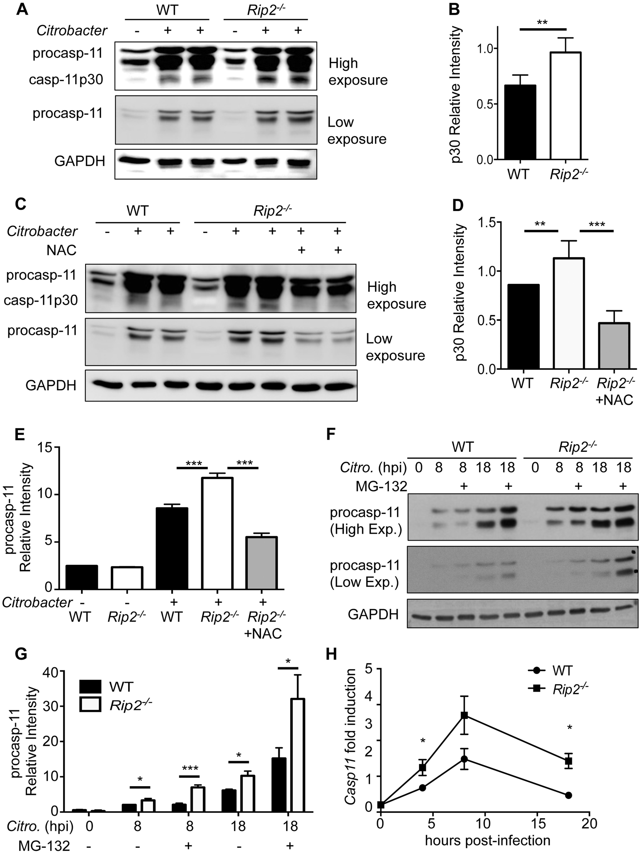 RIP2 regulates the caspase-11 non-canonical inflammasome.