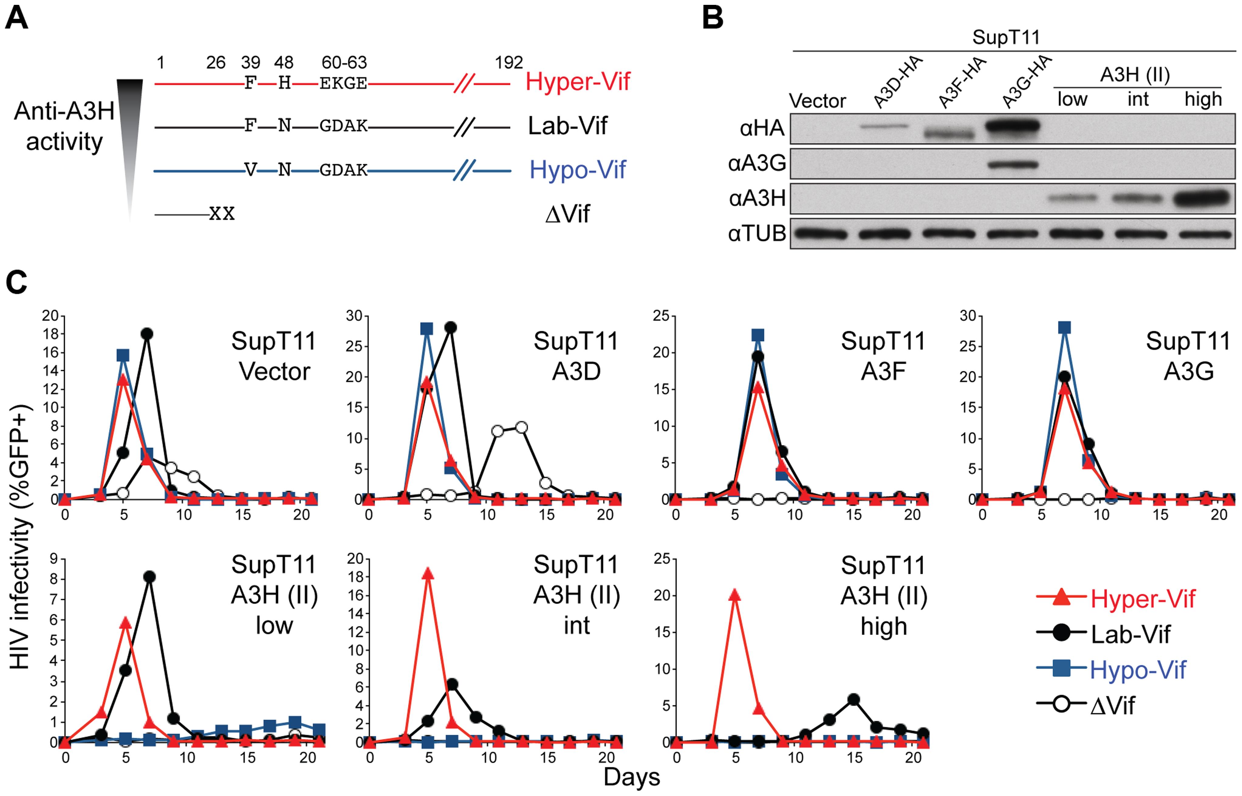 Generation and validation of HIV-1 Vif separation-of-function molecular/viral probes.