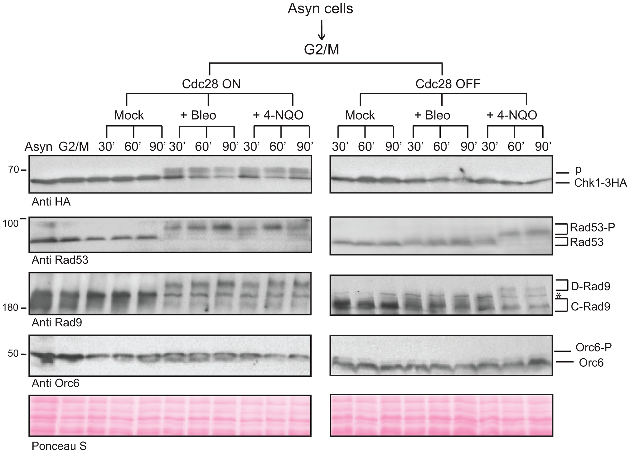 CDK is required for the activation of Chk1-dependent signaling.