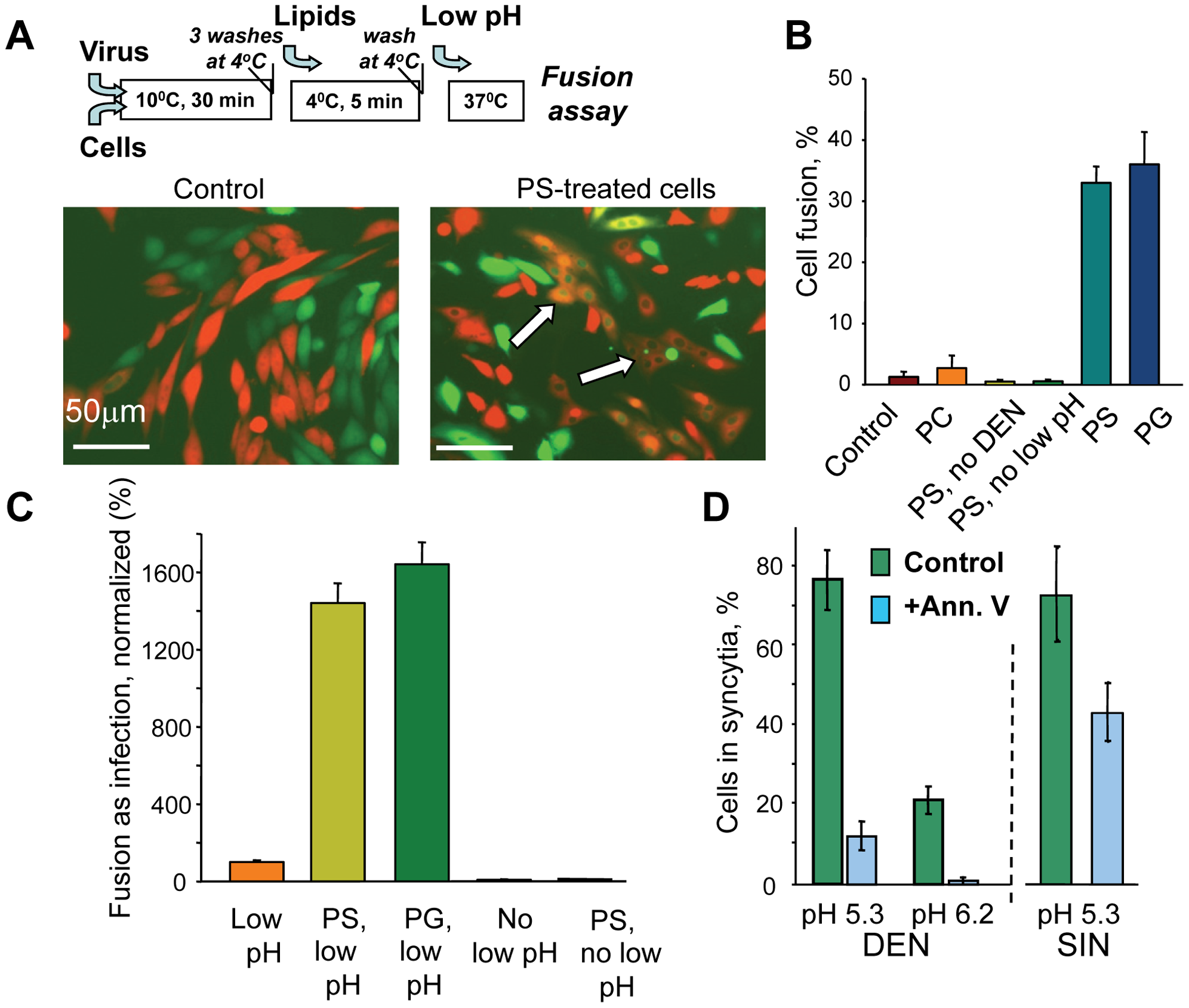 Anionic lipids promote DEN-mediated cell-to-cell fusion.