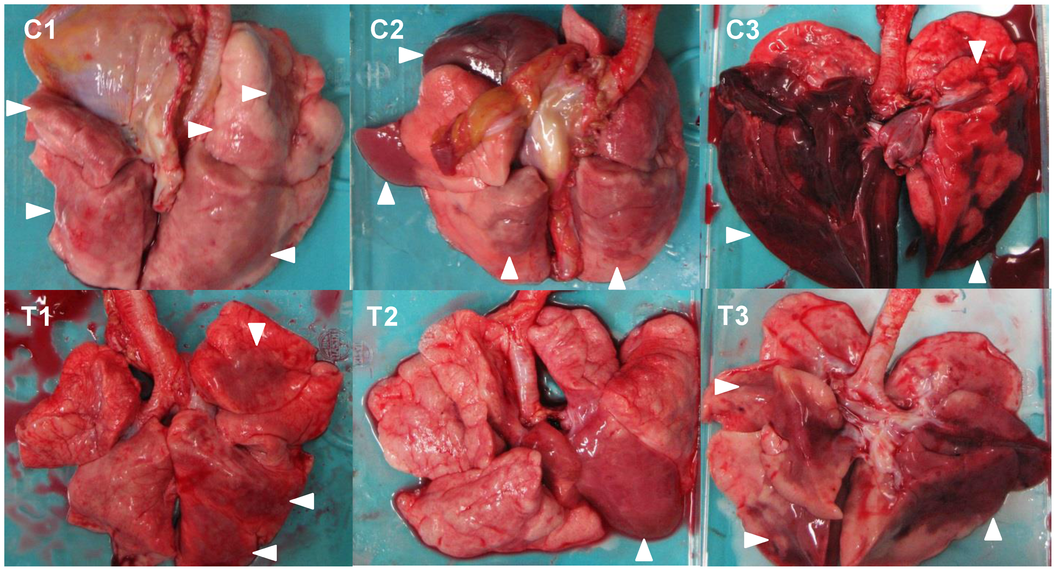 Gross pathological changes of the lungs of immunocompetent macaques infected with VN3040.