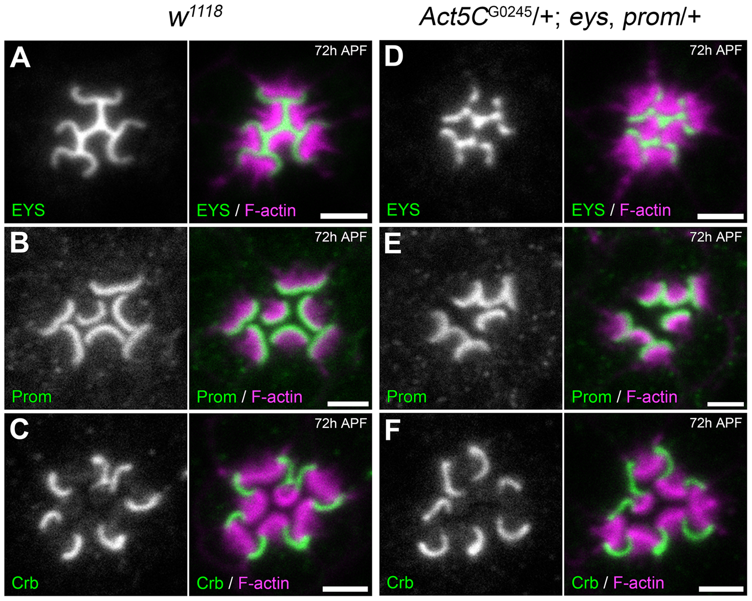 Localization of Prominin, EYS, and Crumbs in the <i>Act5C</i>/+; EP-TH genetic background.