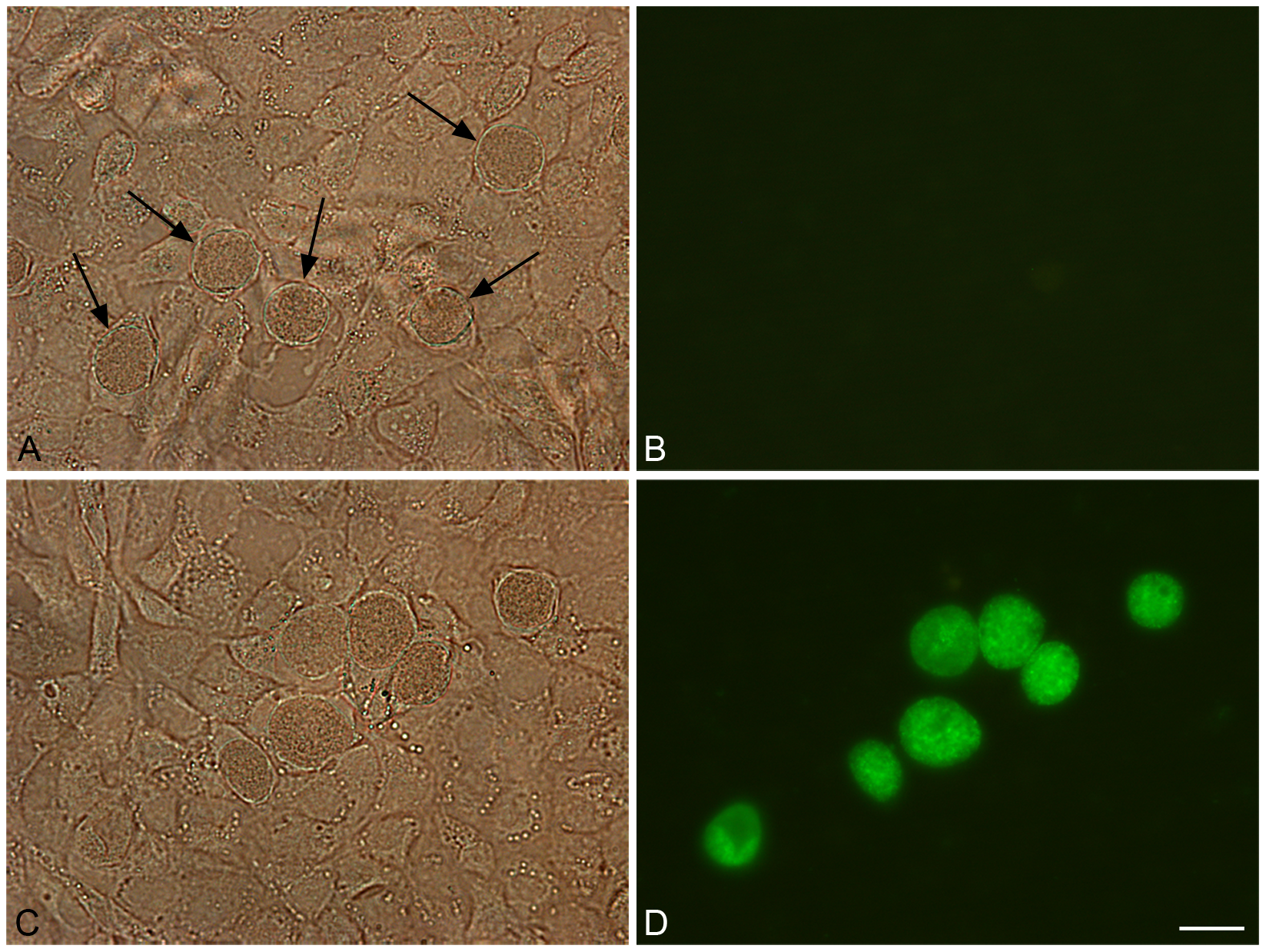 Green fluorescent inclusions in McCoy cells infected with <i>C. trachomatis</i> L2/434/Bu transformed with pGFP::SW2.