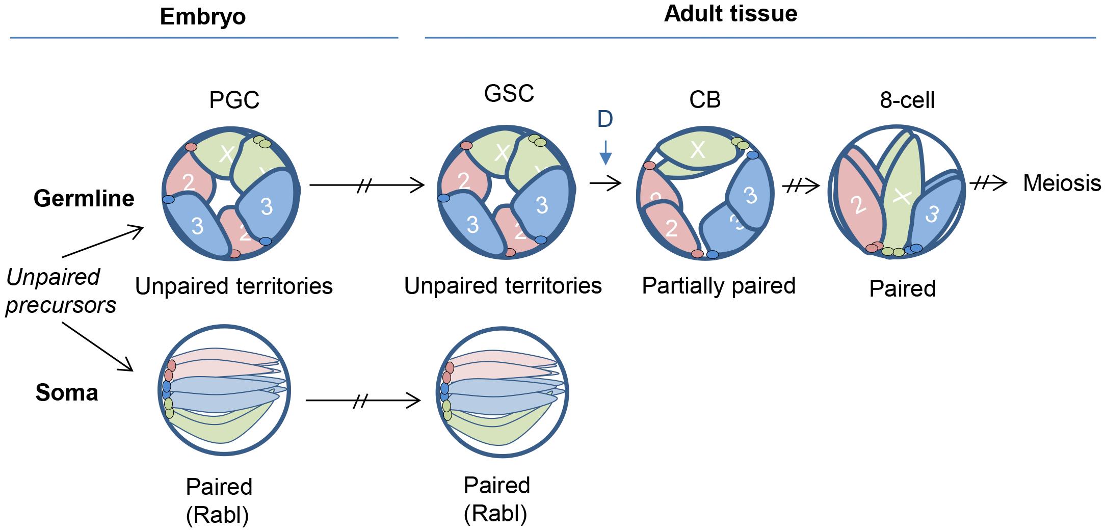 Model for germline nuclear organization.