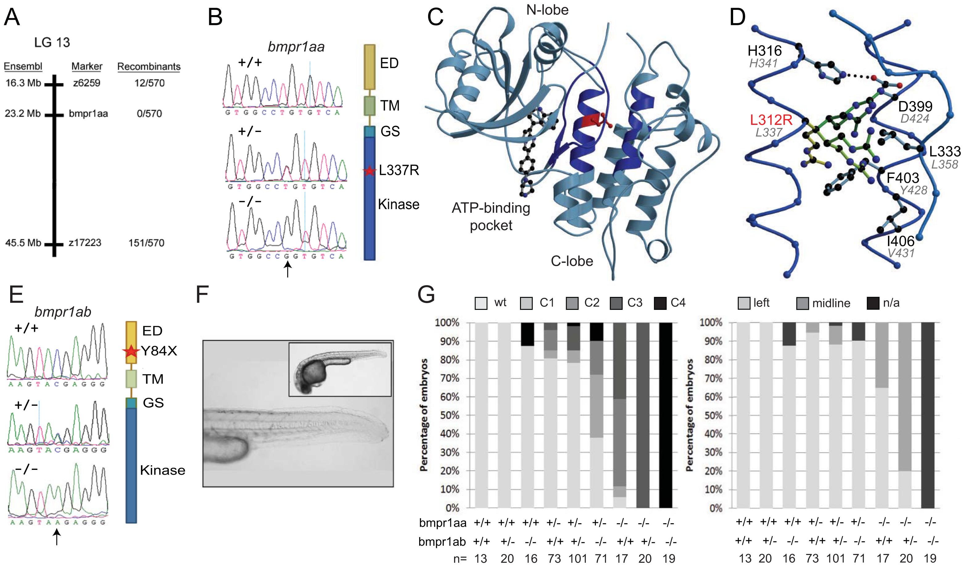Genetic variations found in zebrafish <i>bmpr1aa</i> and <i>bmpr1ab</i> genes.