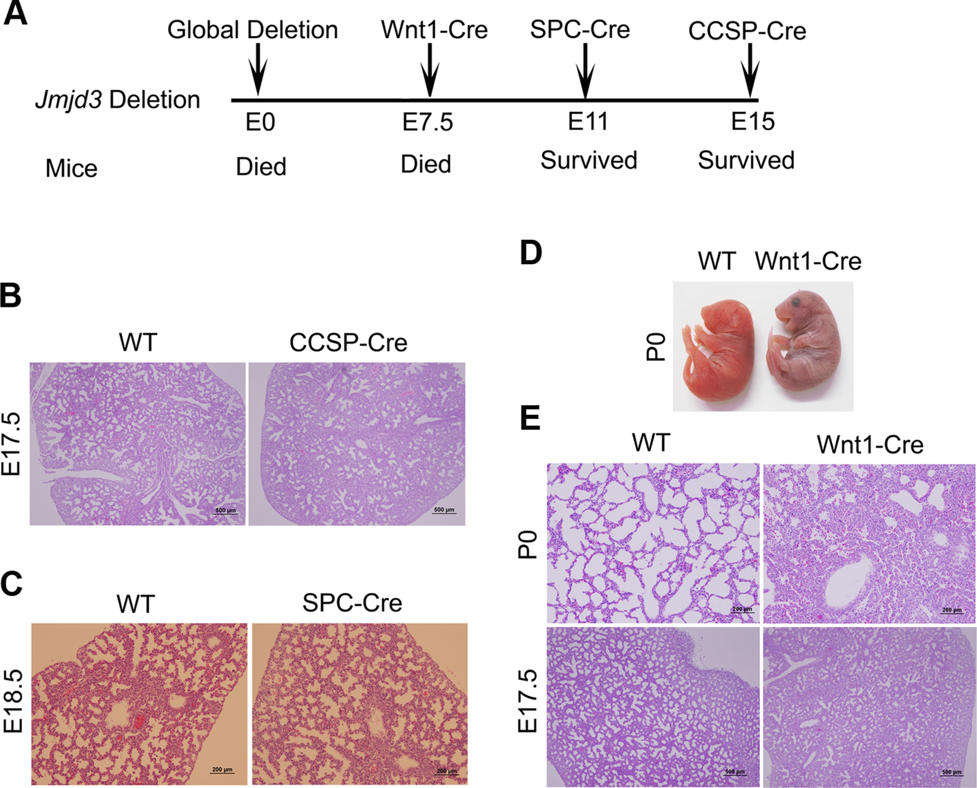 Effect of tissue-specific Jmjd3 deletion on mouse survival and lung development.