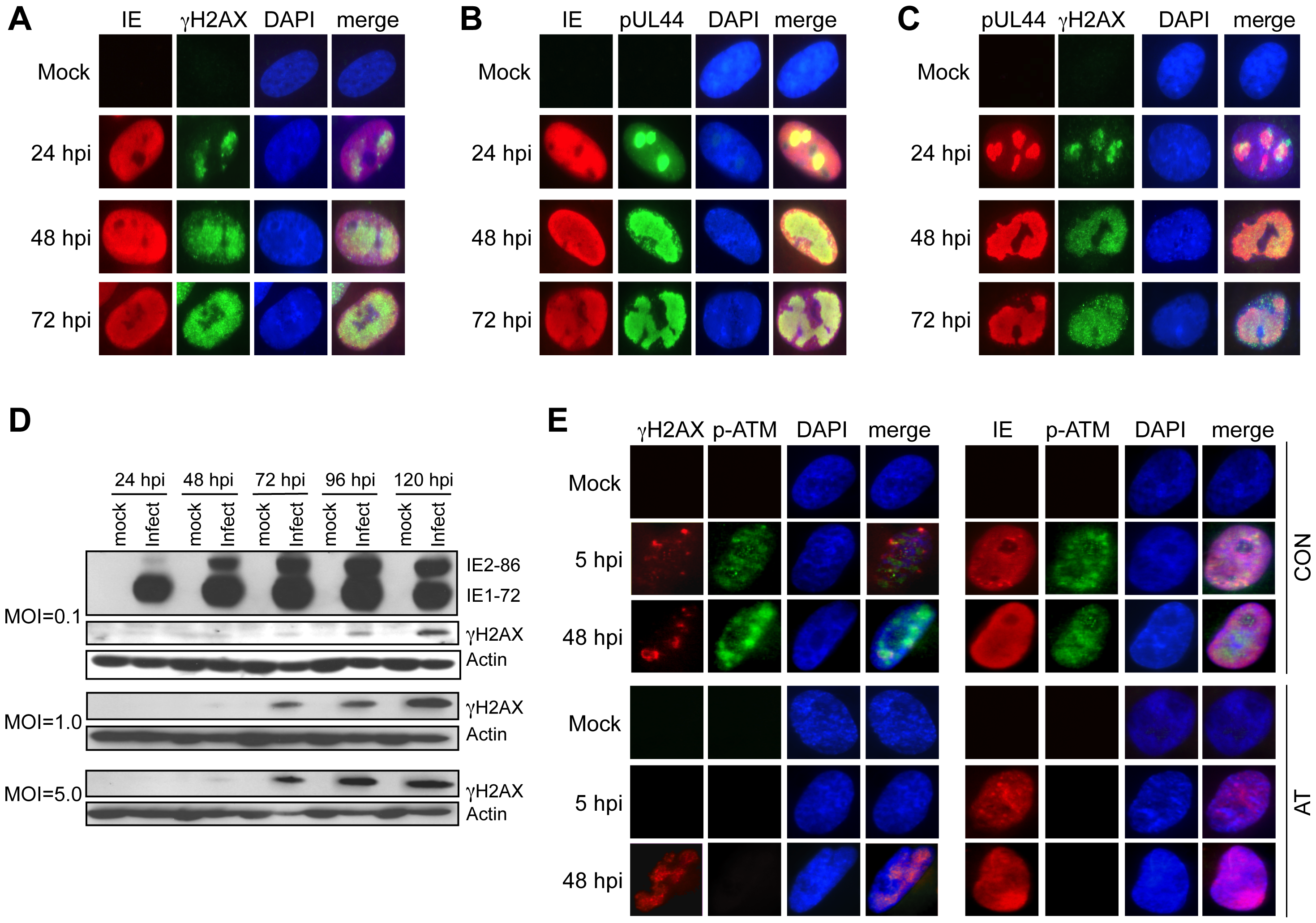Accumulation and localization of host damage response proteins varies during infection.